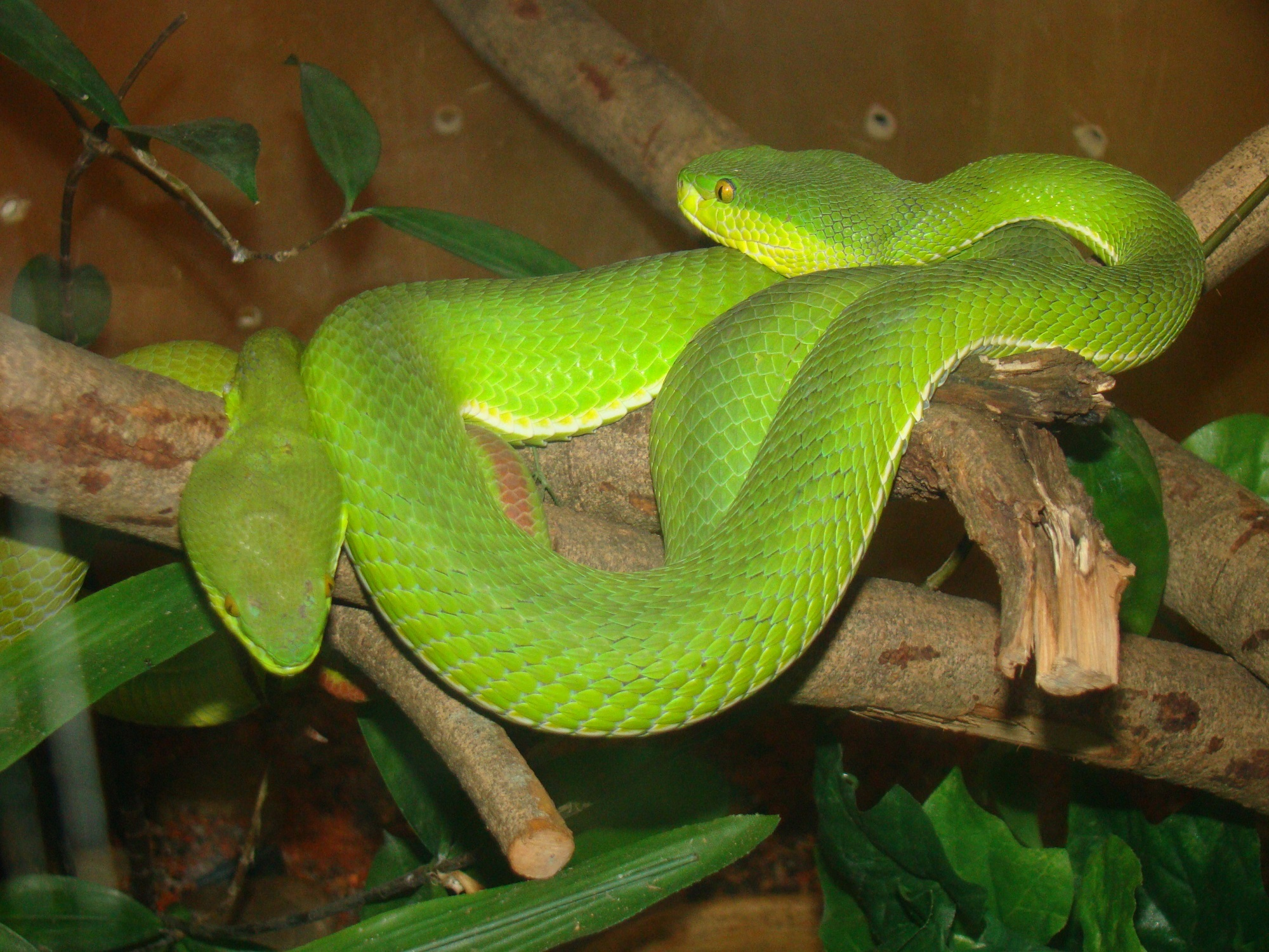 Palm Pit Vipers, Animal, Green, Nature, Palm, HQ Photo