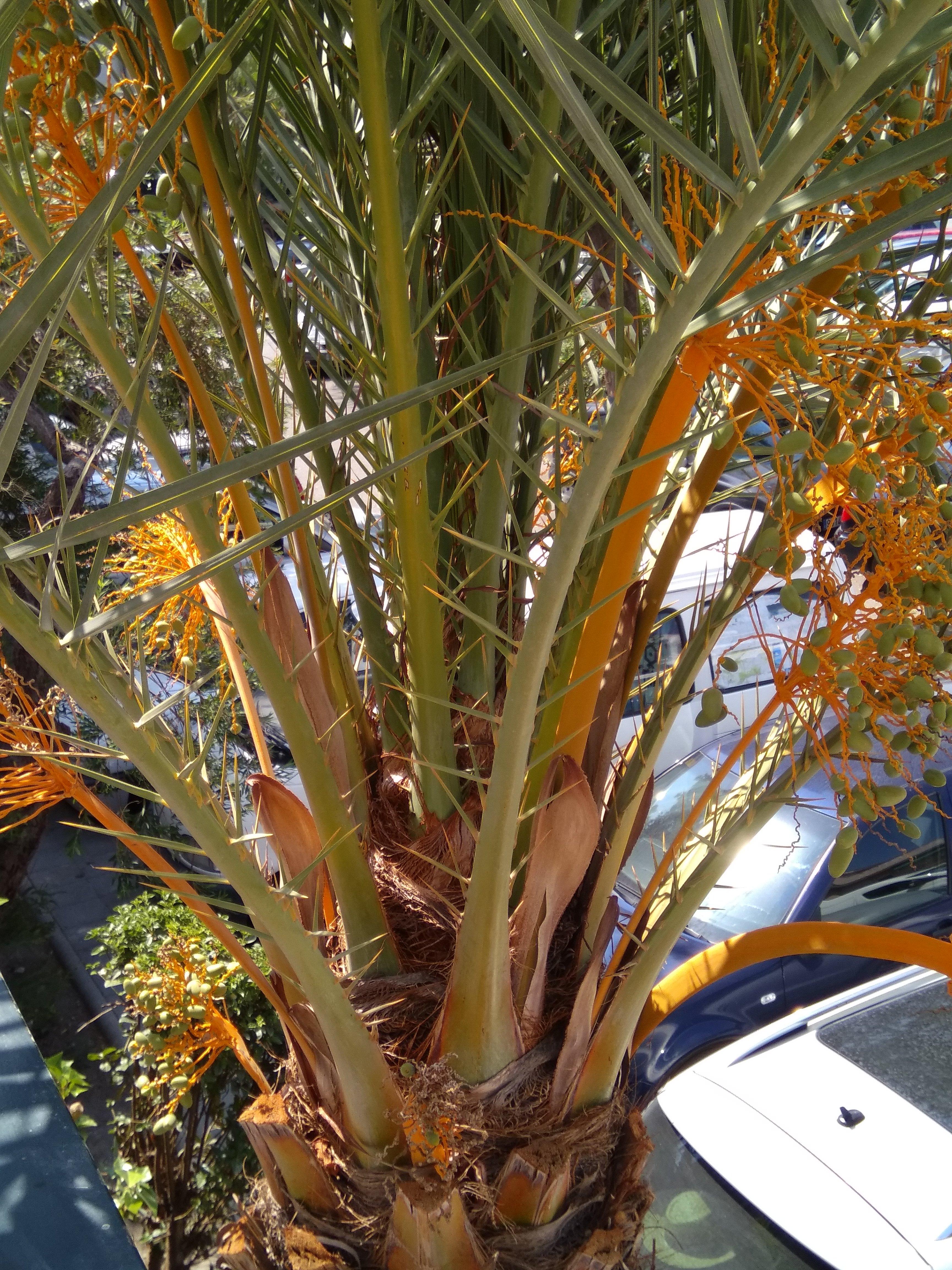 File:Palm tree.jpg - Wikimedia Commons