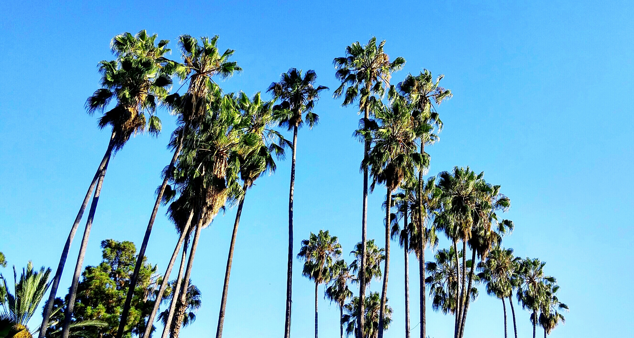 Los Angeles might have to replace its iconic palm trees