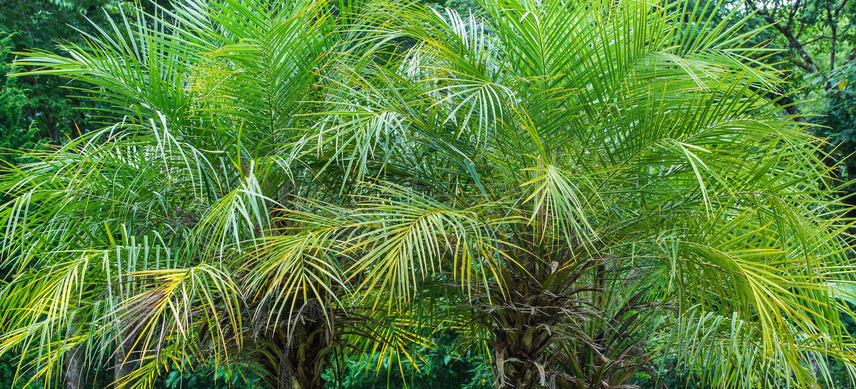 Palm Trees | Palm Tree Nursery | Palm Trees for Sale Chandler ...