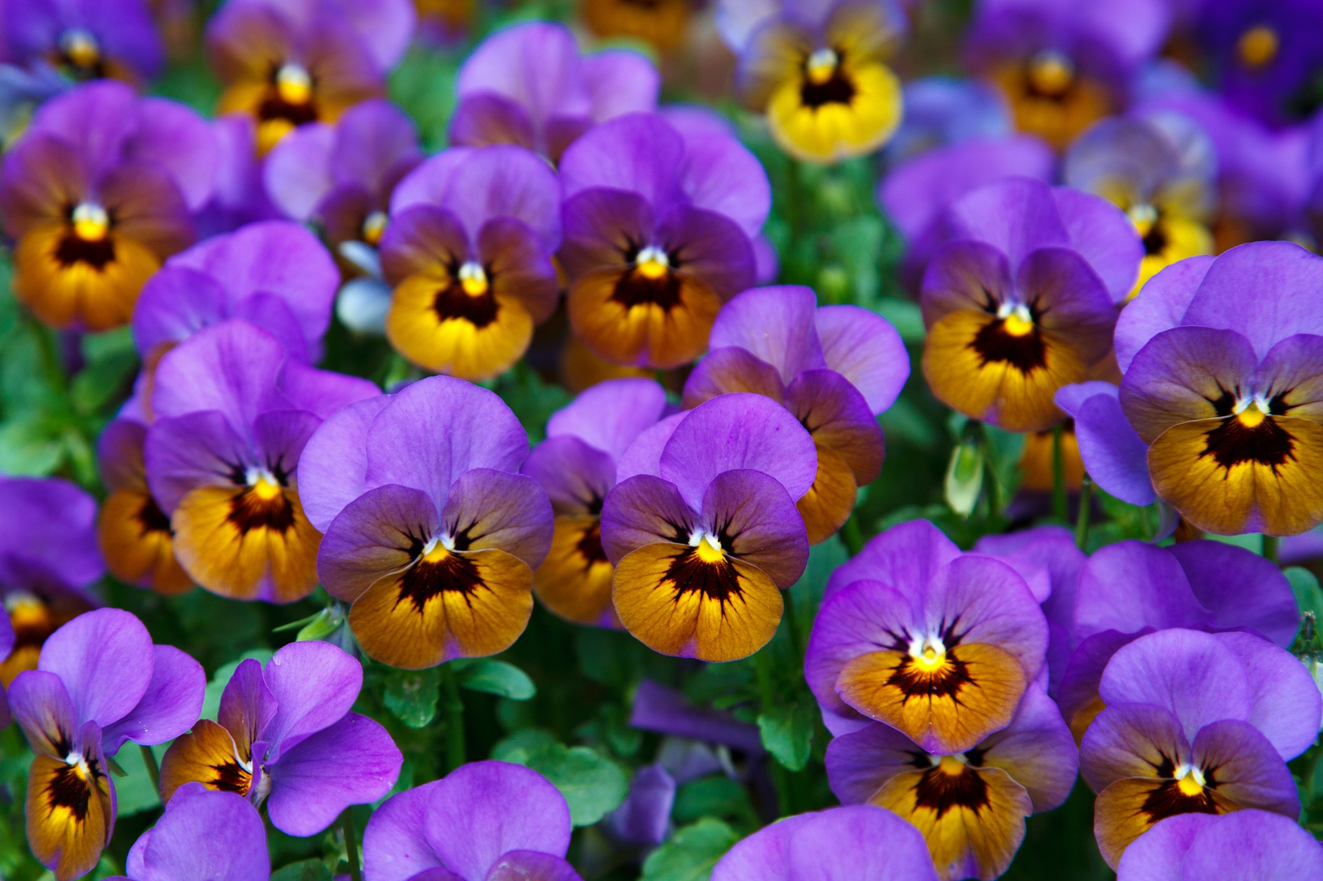 Pansies in the Garden, Nature, Pansy, Garden, Fragrance, HQ Photo
