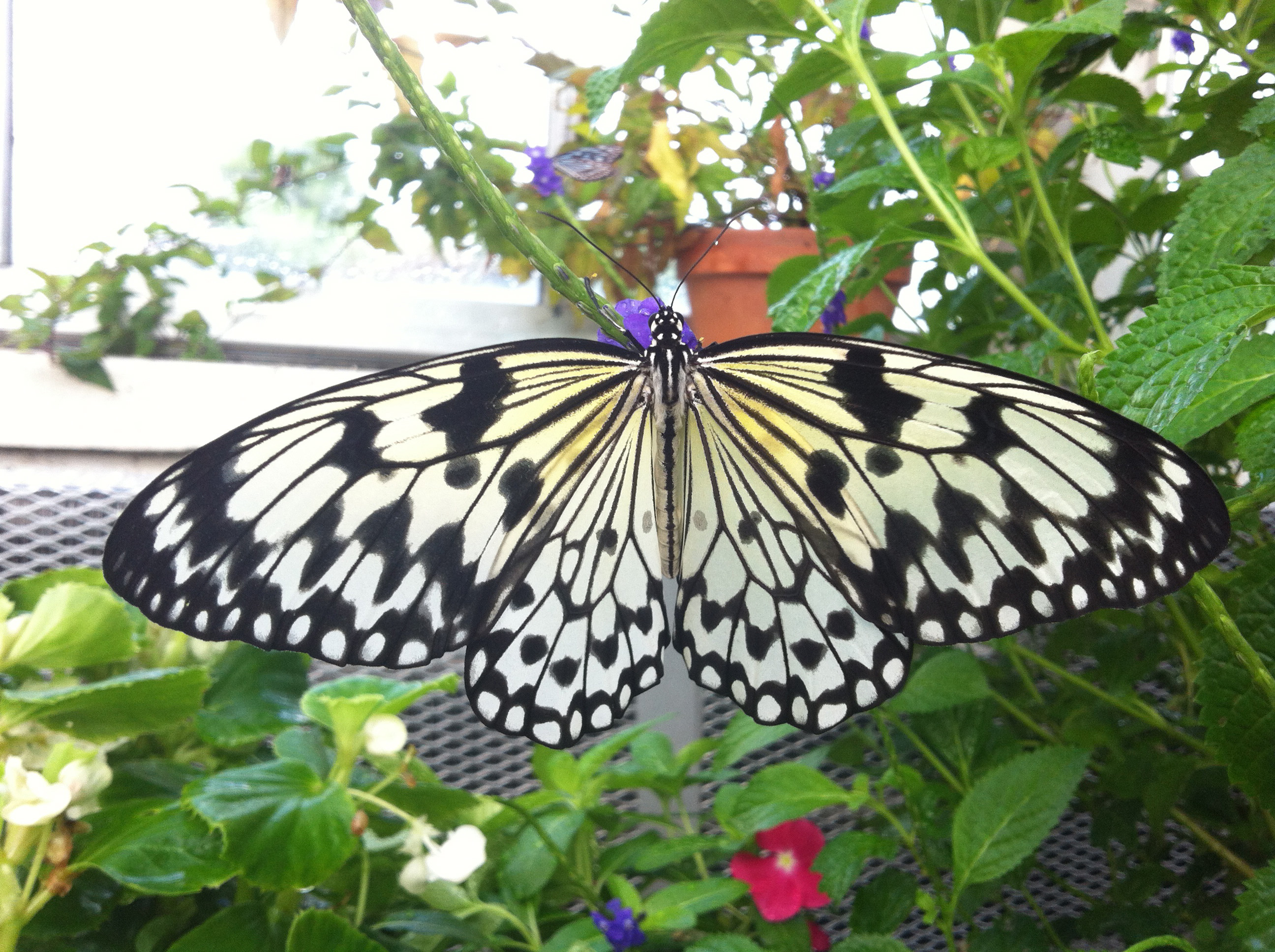 Butterfly of the Month: Paper Kites - Lewis Ginter Botanical Garden