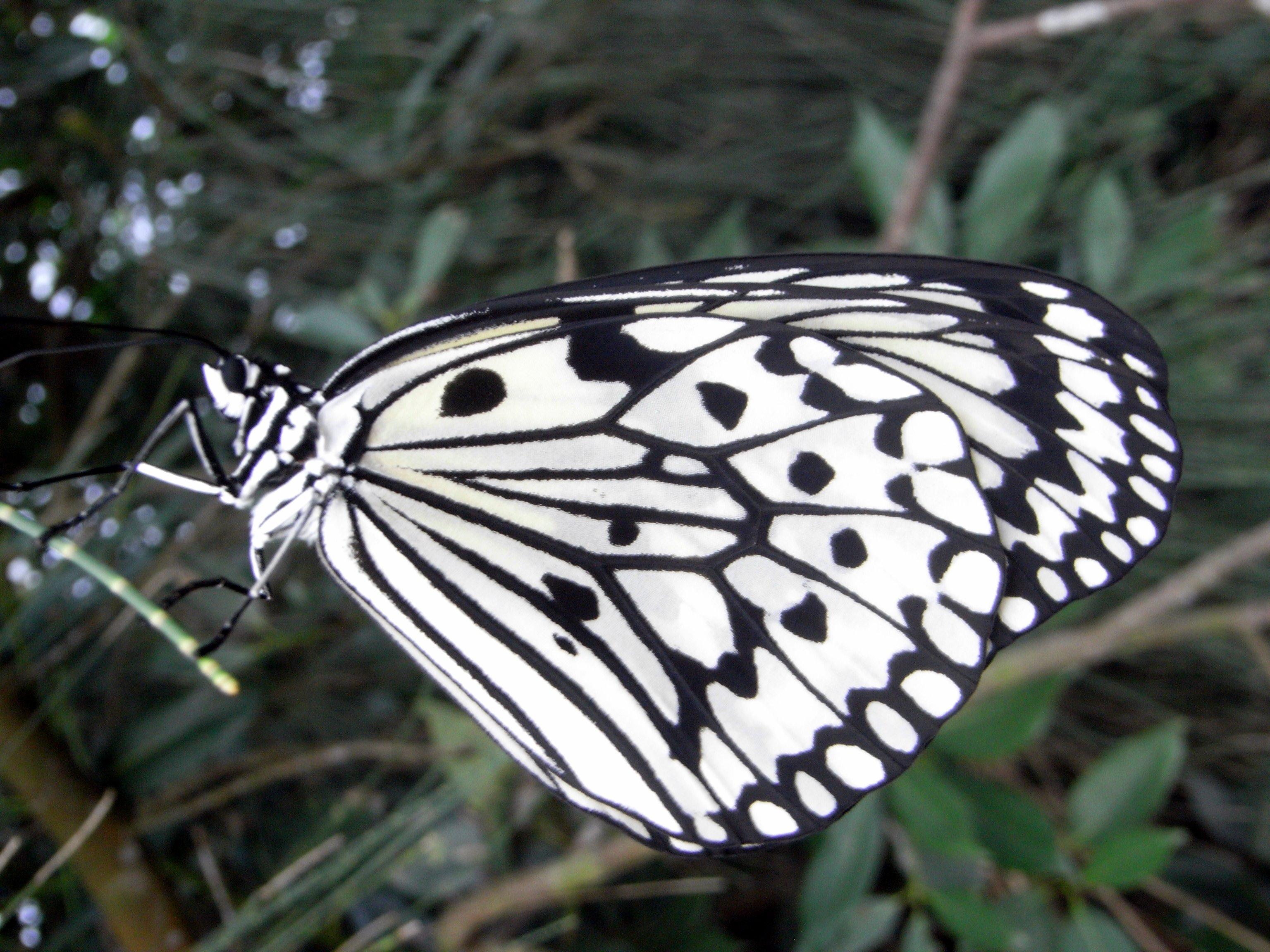 File:Paper Kite butterfly in Yeliu.jpg - Wikimedia Commons