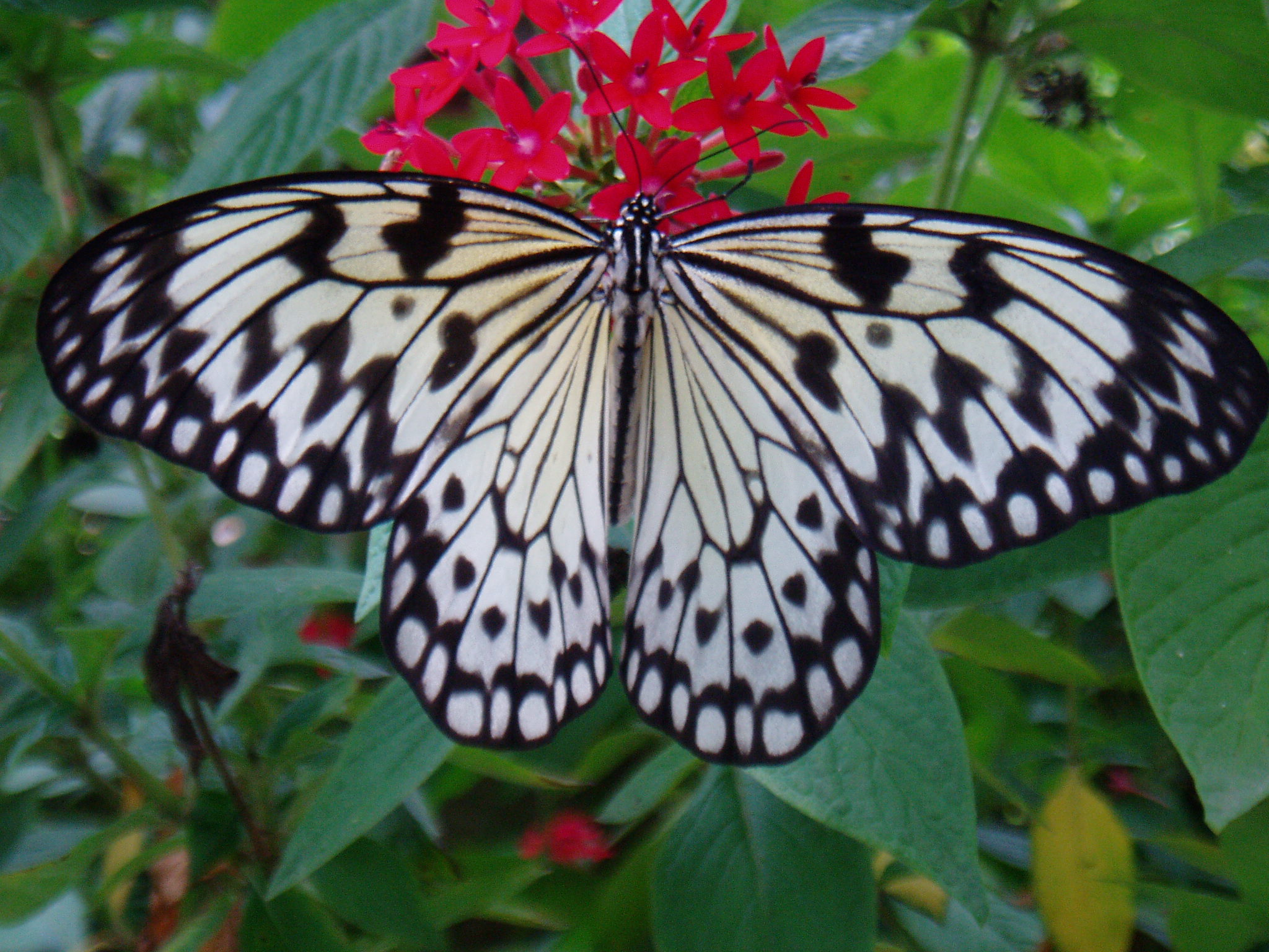File:Idea Leuconoe (Paper Kite).jpg - Wikimedia Commons
