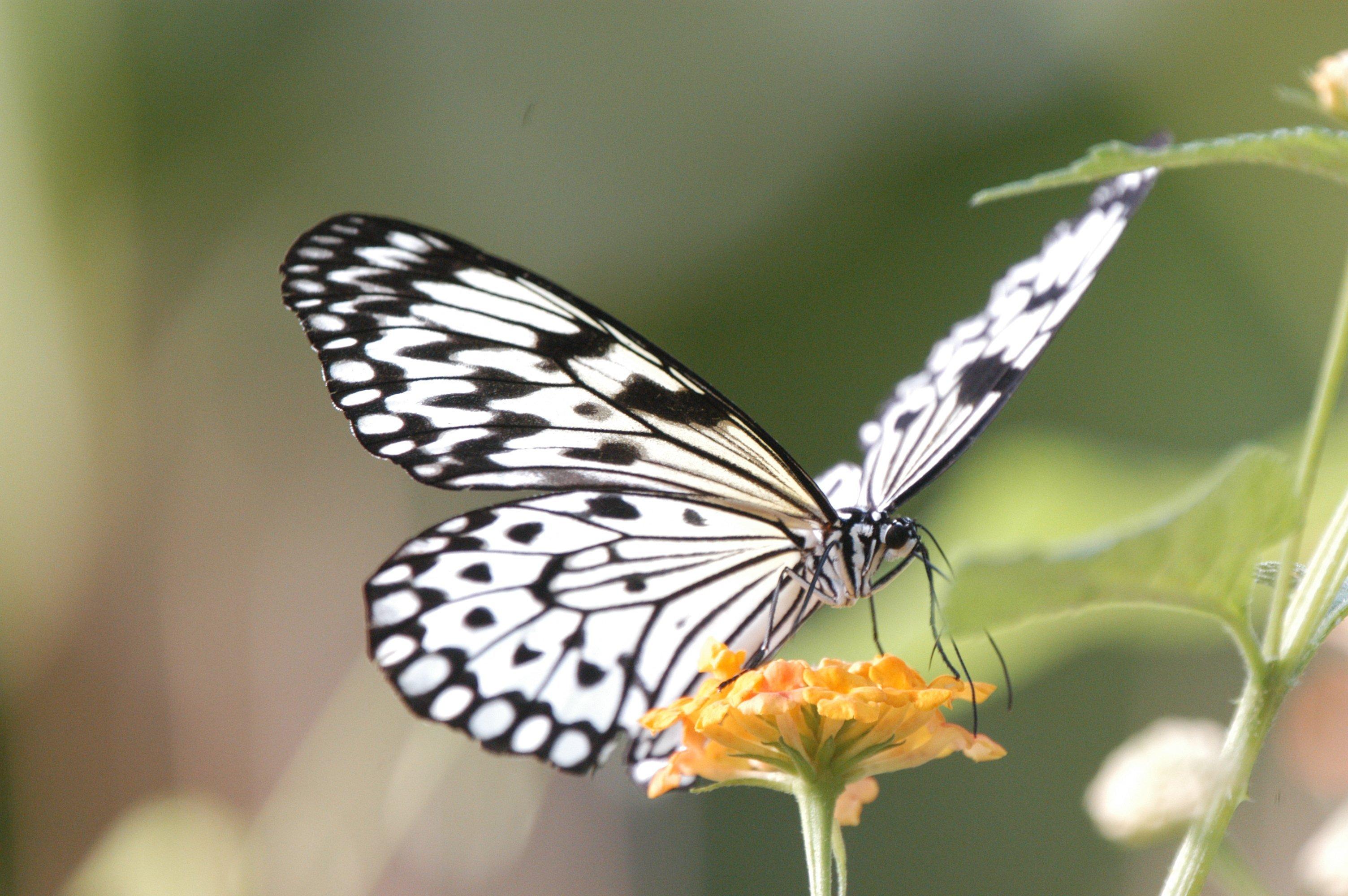 File:Idea leuconoe (Paper Kite) in the Cambridge Butterfly ...