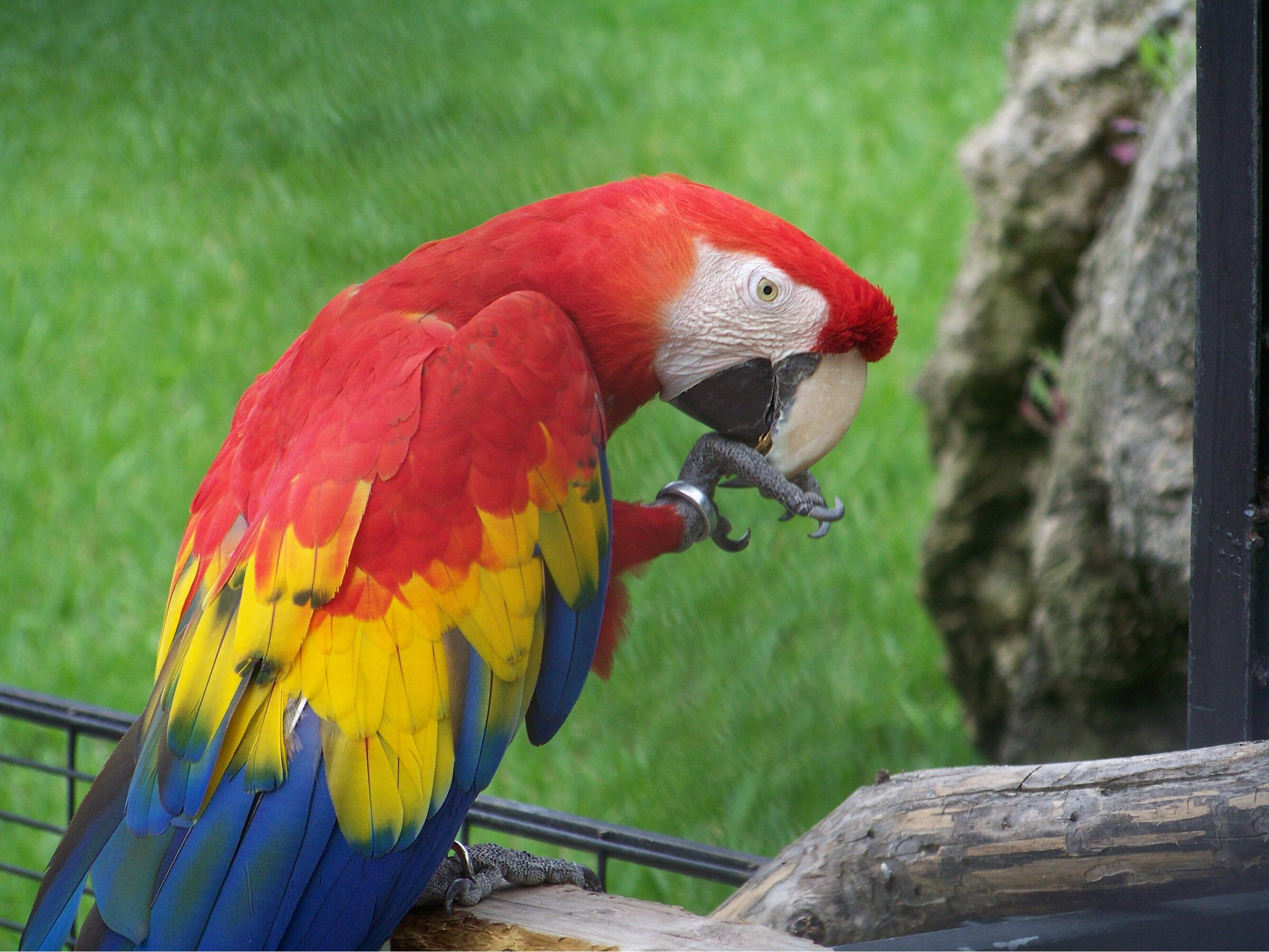 Parrot, American, Red, Macao, Macaw, HQ Photo