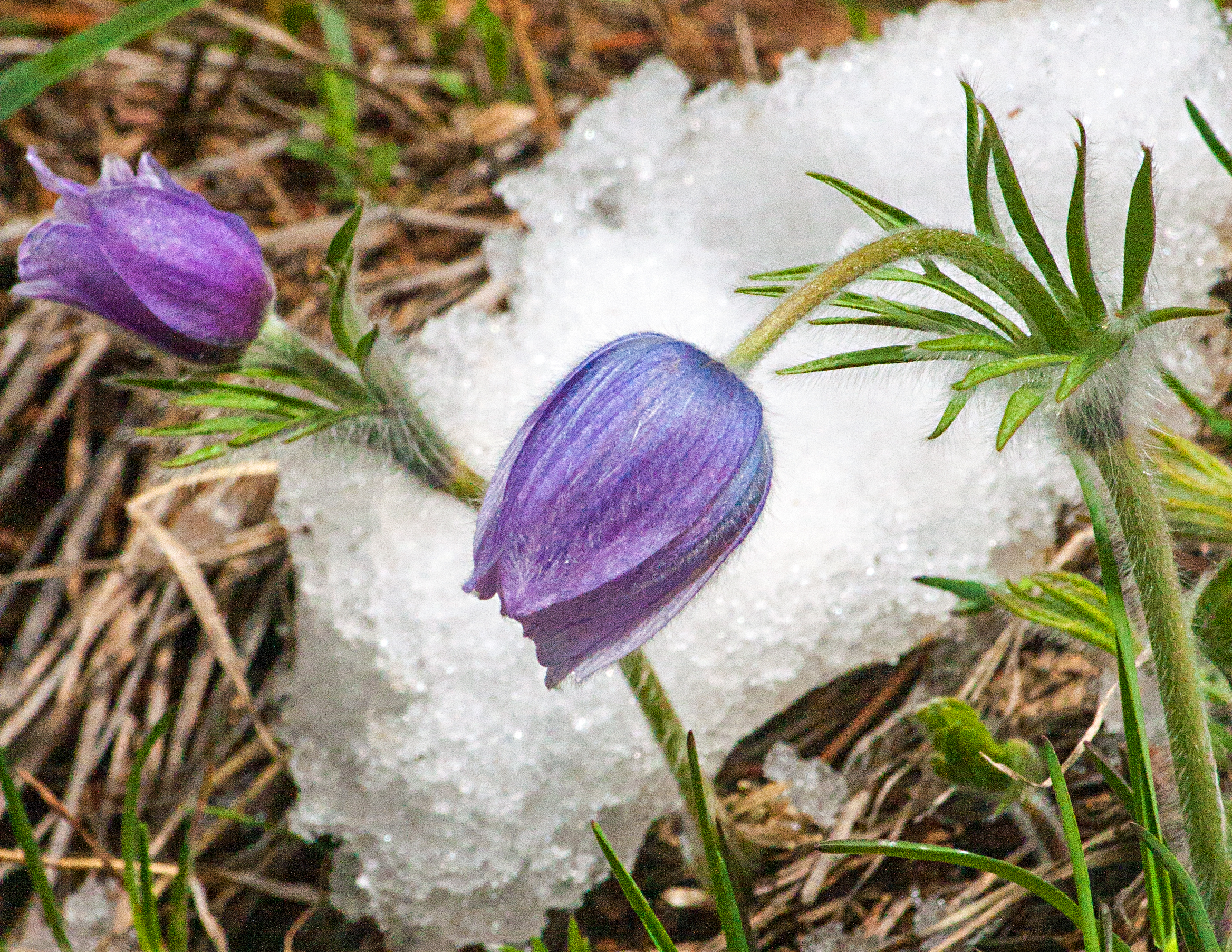 Pasque flower photo