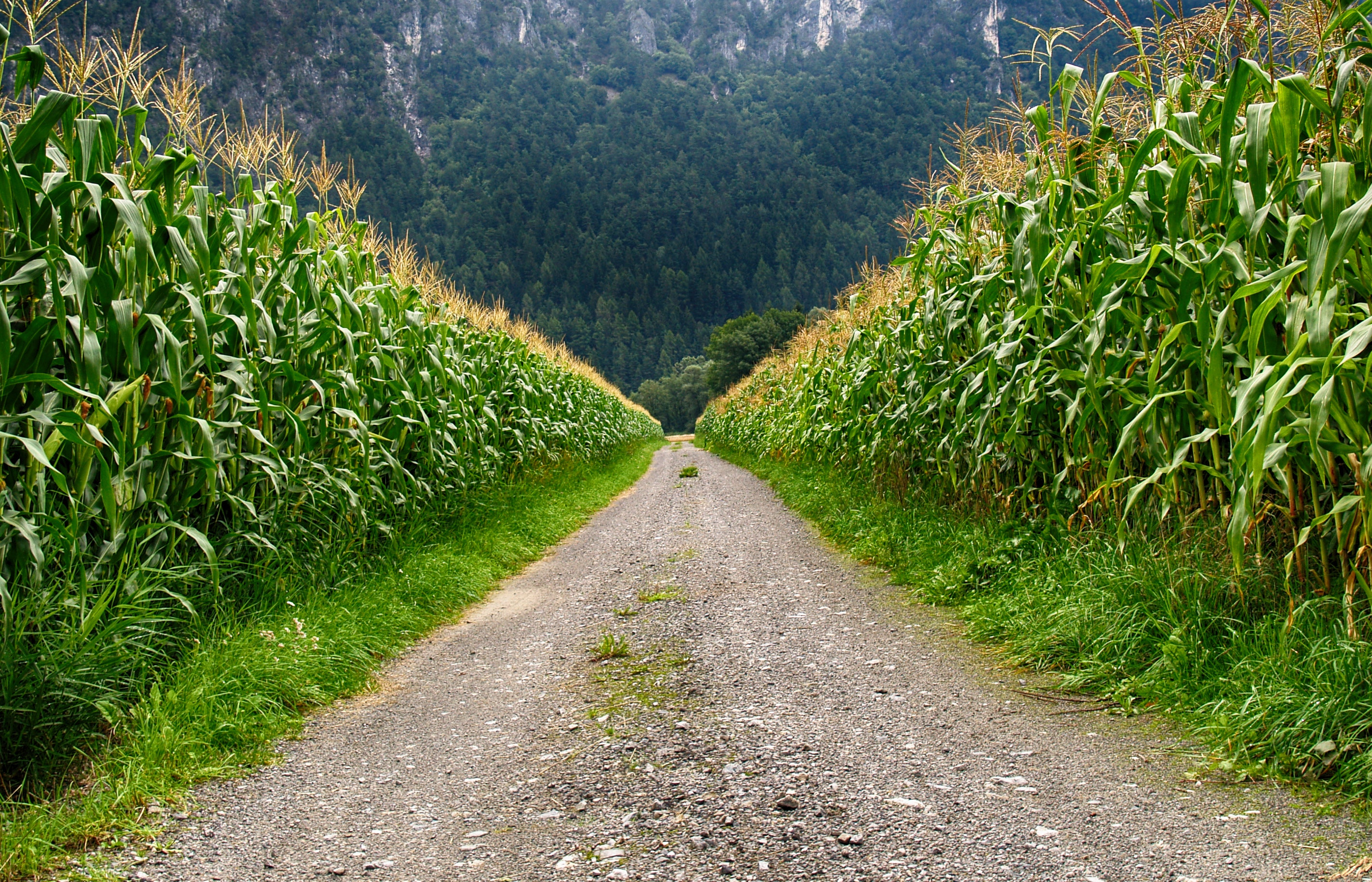Pathway in Middle of Corn Field, Grass, Trees, Summer, Scenic, HQ Photo