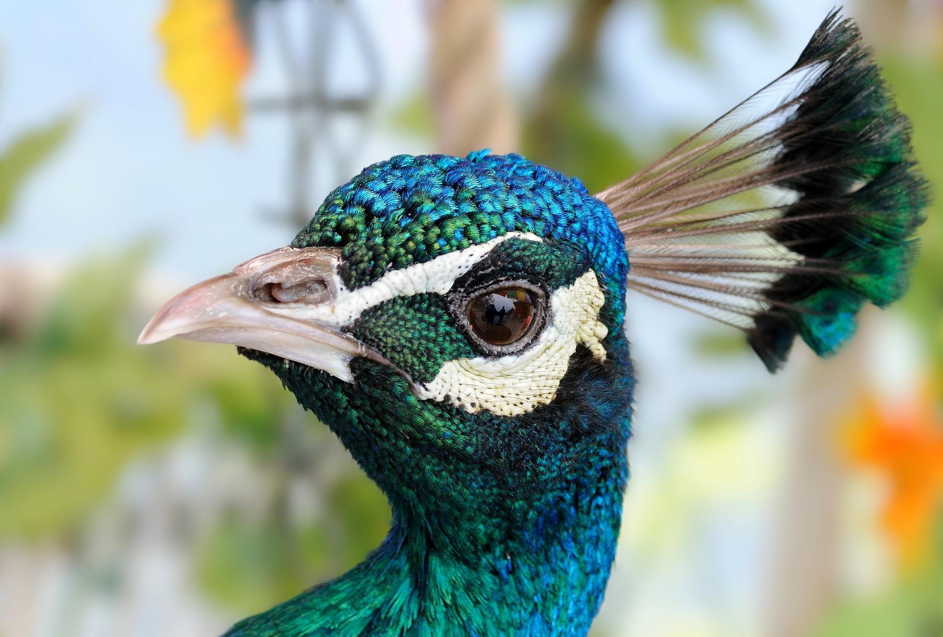 Raising Peacocks: 5 Steps You Need to Know to Keep Peafowl