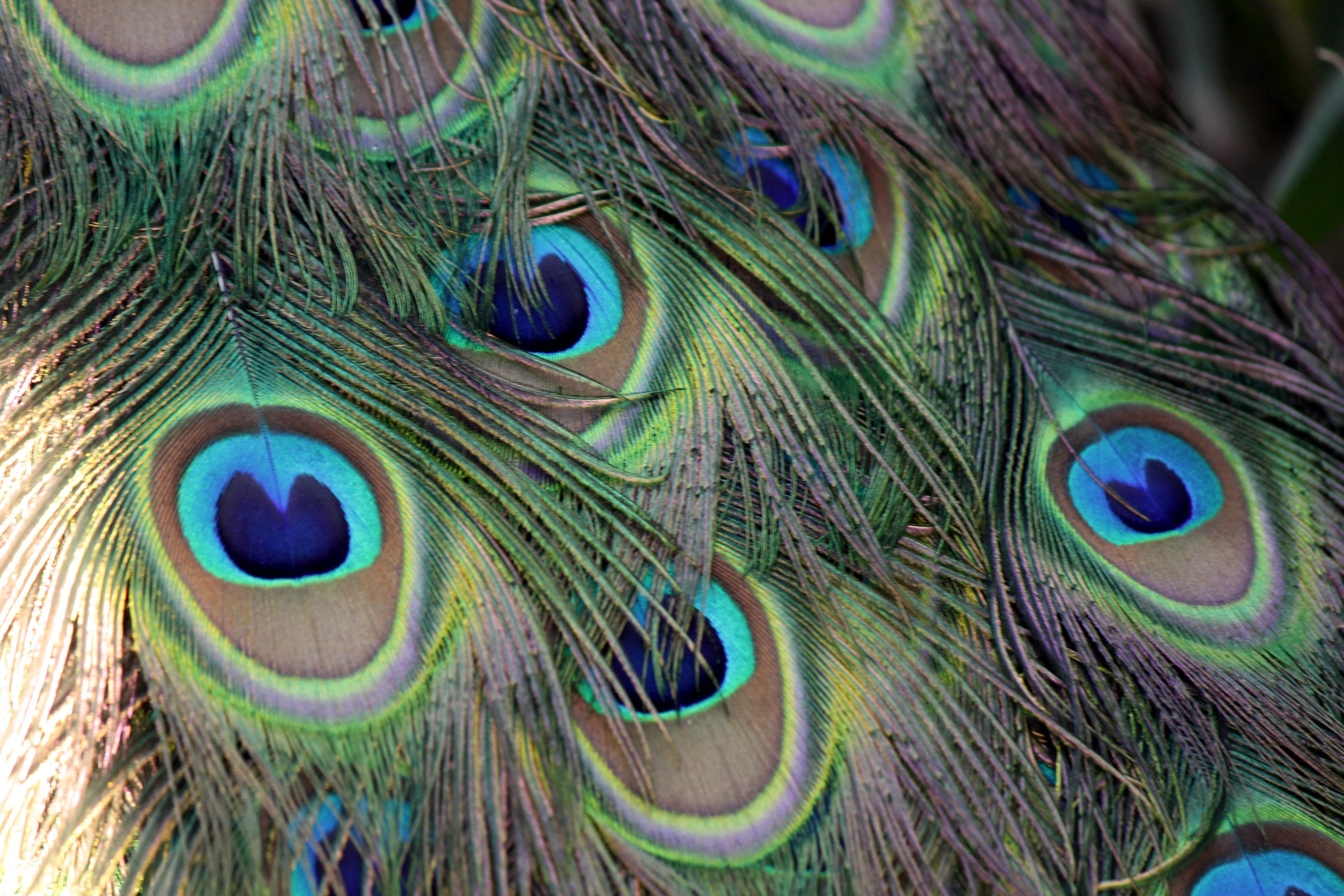 Photography Macro Close Up Peacock Feather | Free Photo
