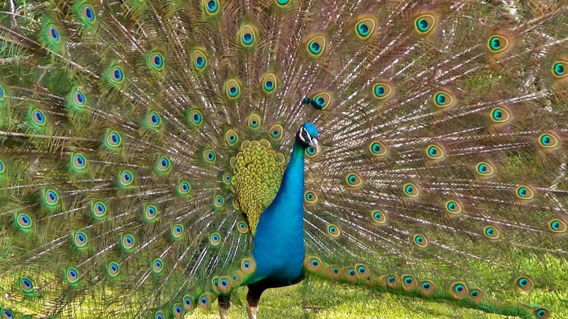 Peacock Dance Display - Peacocks Opening Feathers HD & Bird Sound ...