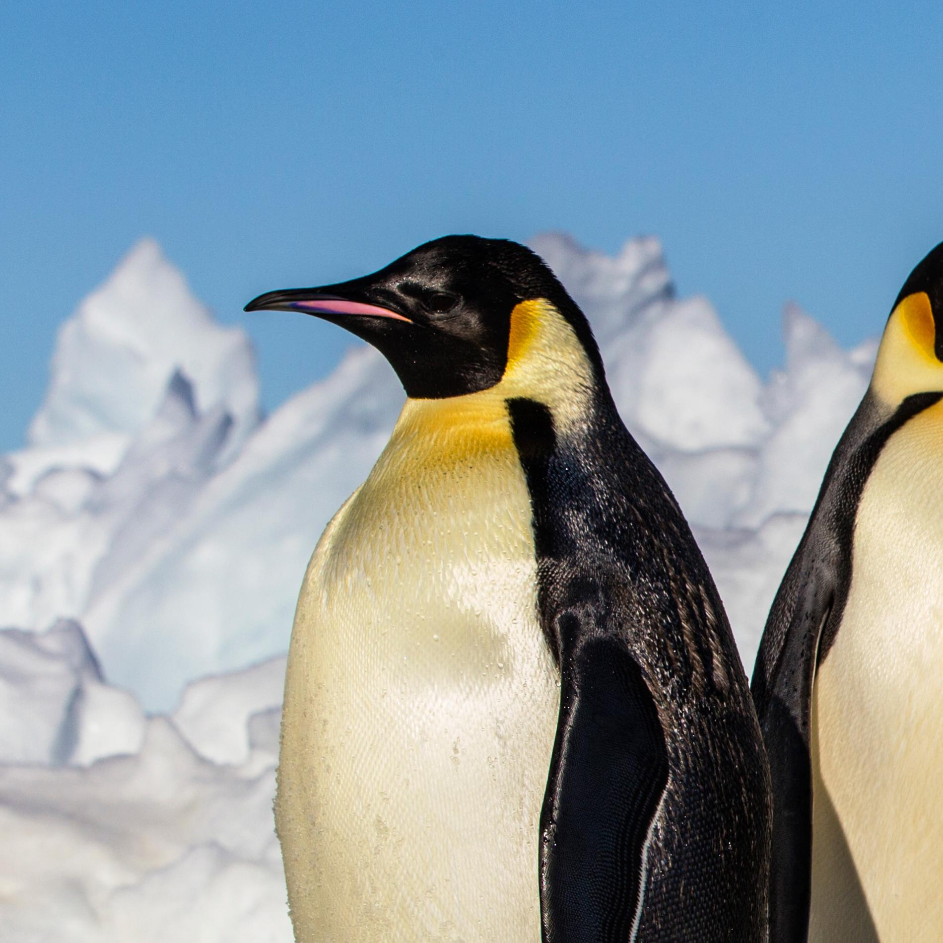 Emperor Penguin | National Geographic