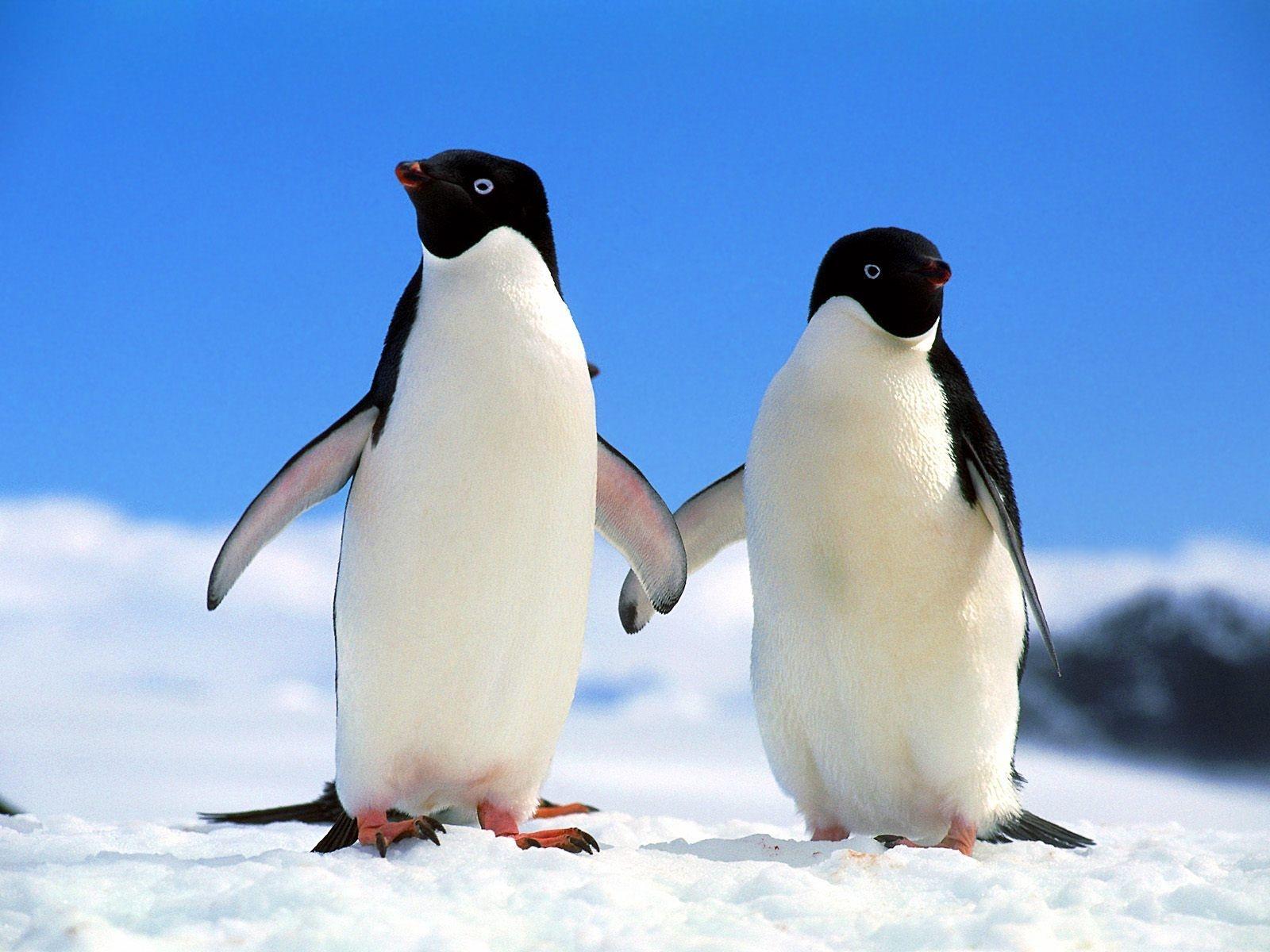 Penguin couple photo