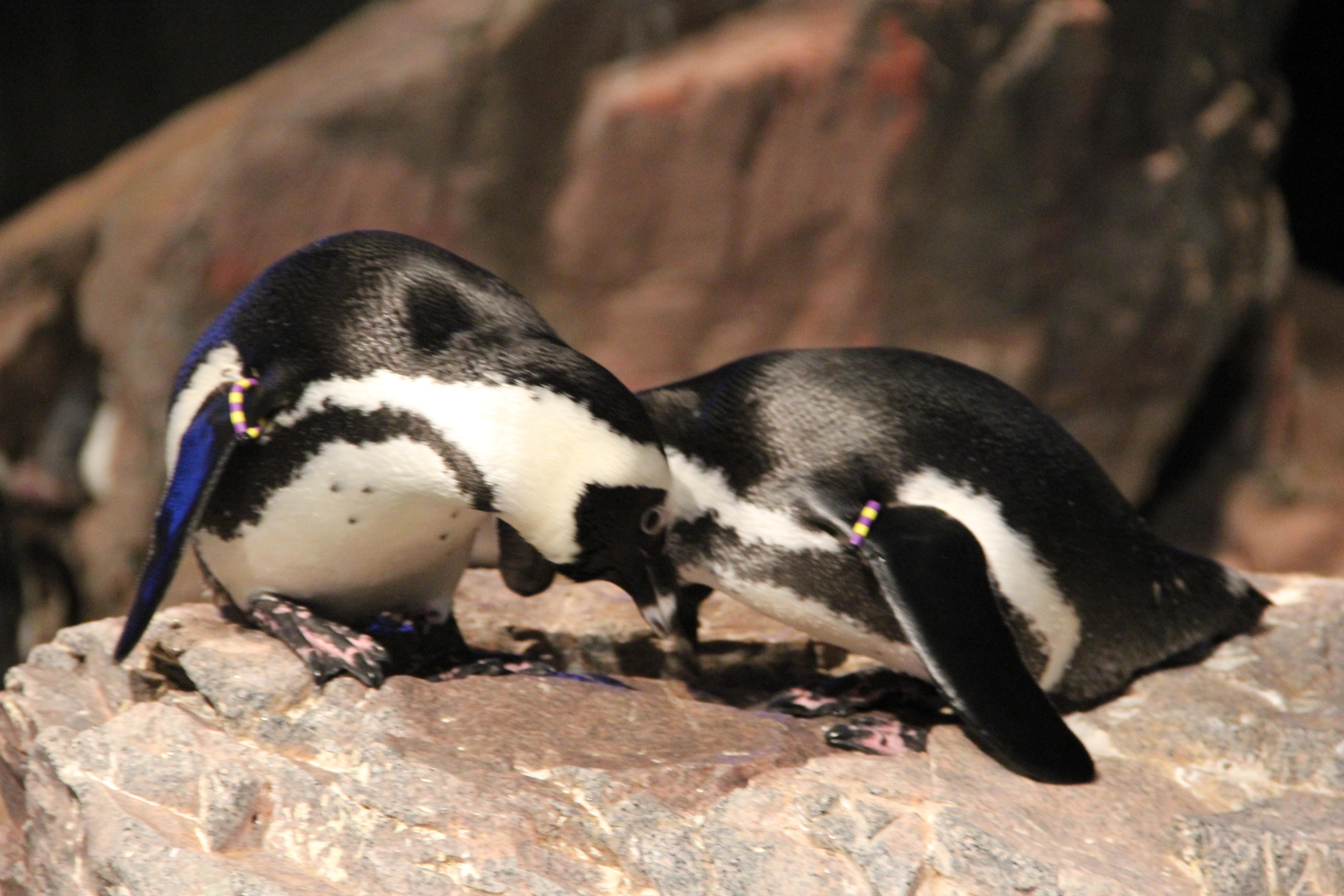 Penguin Couple, Animal, Cold, Couple, Nature, HQ Photo