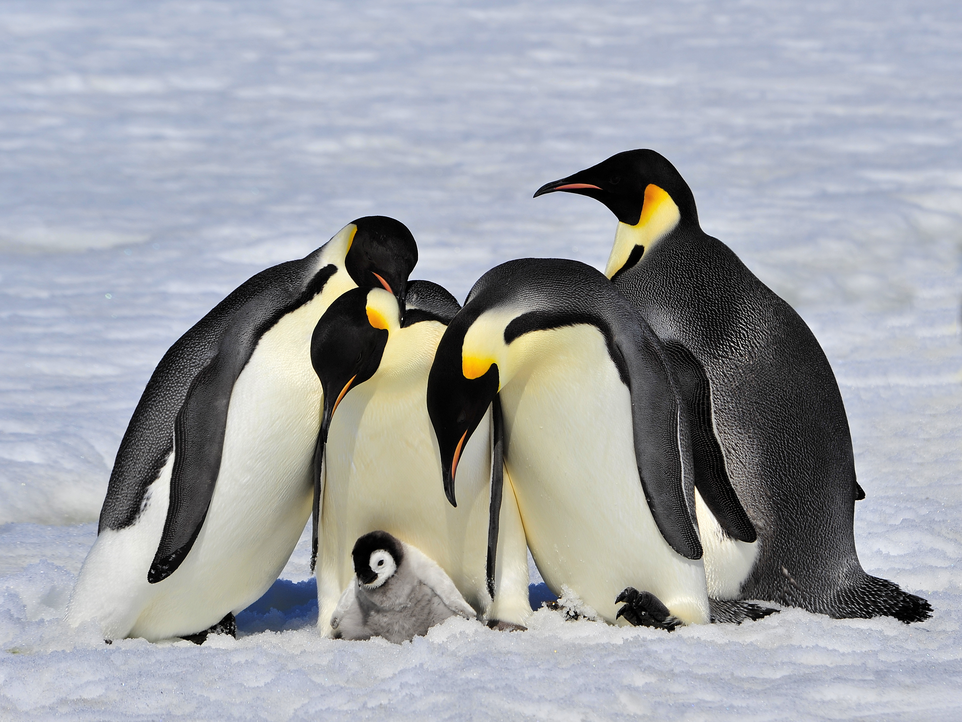 20 Black-and-White Facts About Penguins | Mental Floss