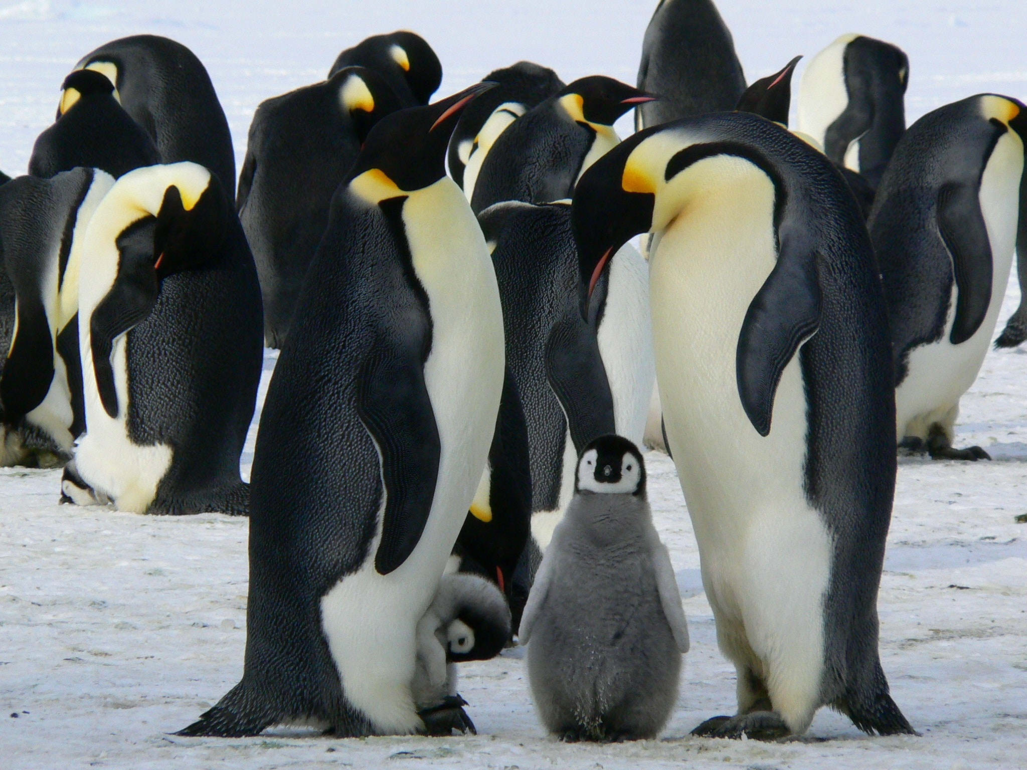Penguins standing on the snow during daytime photo