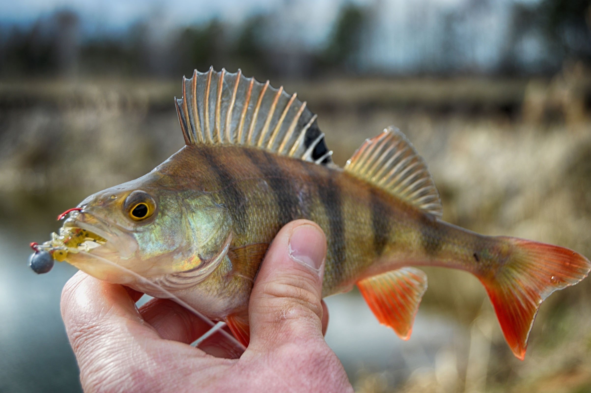 Perch fish in hand photo