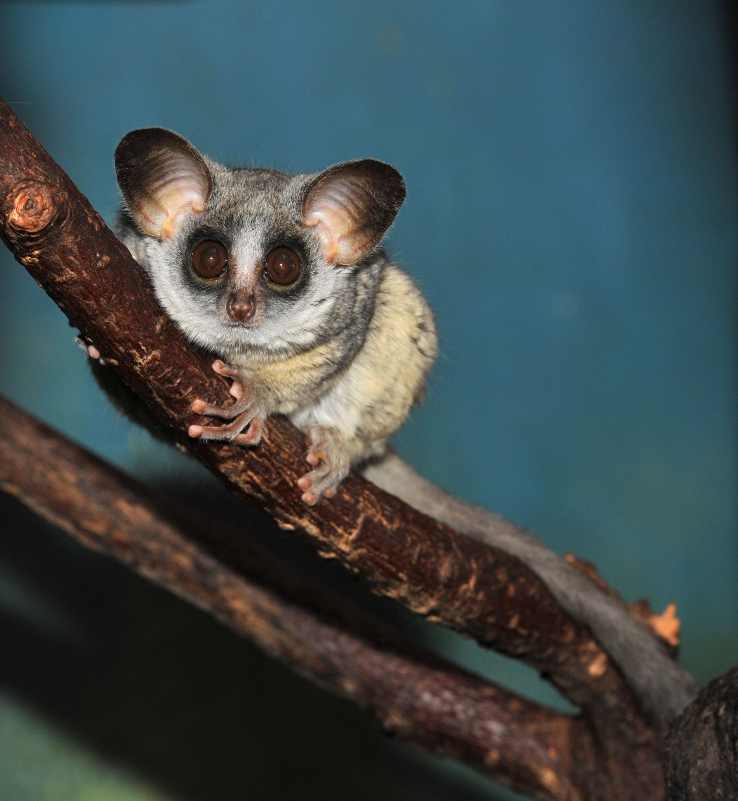 Galagos also known as bushbabies | Animals | Pinterest | Animal ...