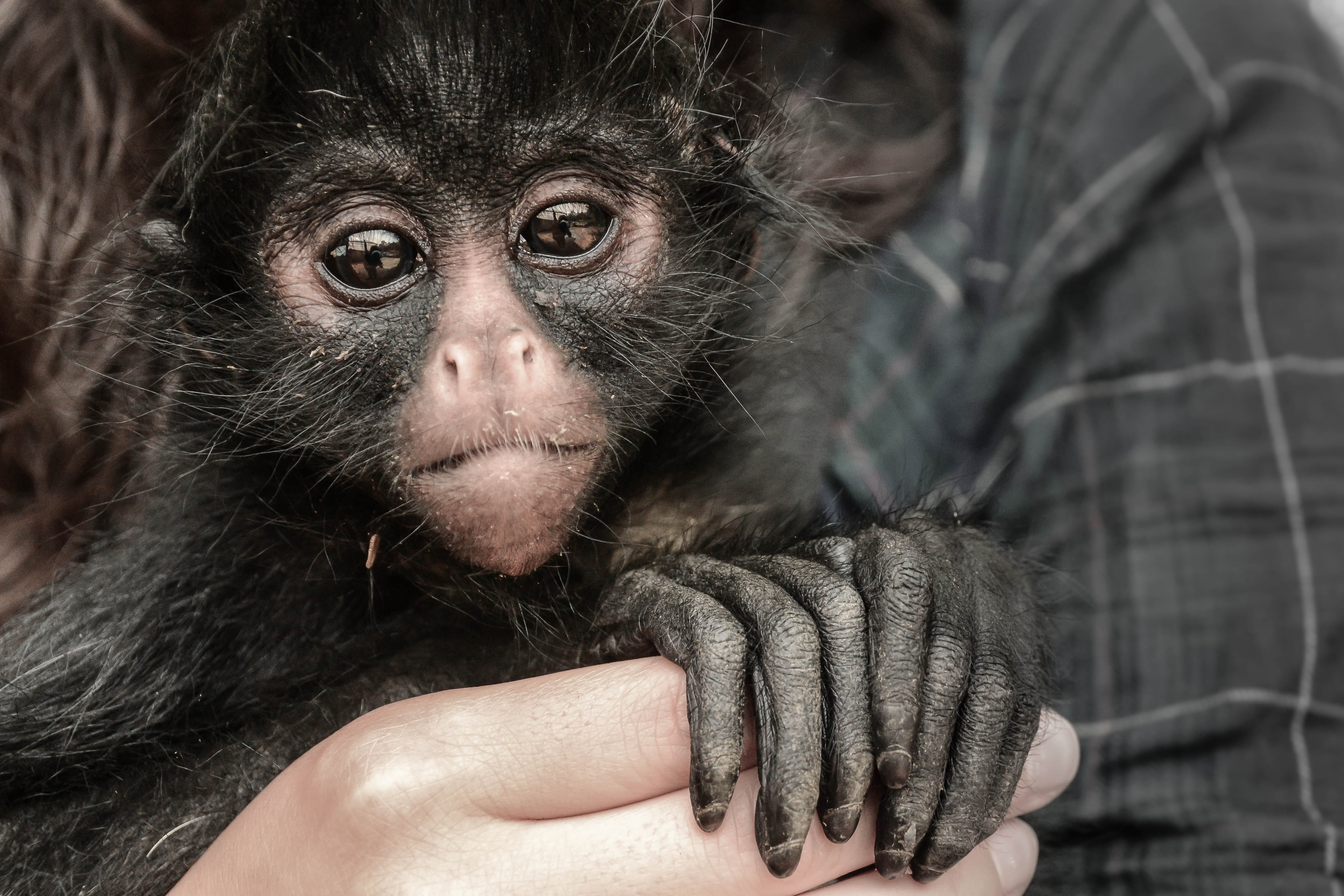 Person Holding Monkey, Animal, Ape, Hands, Monkey, HQ Photo