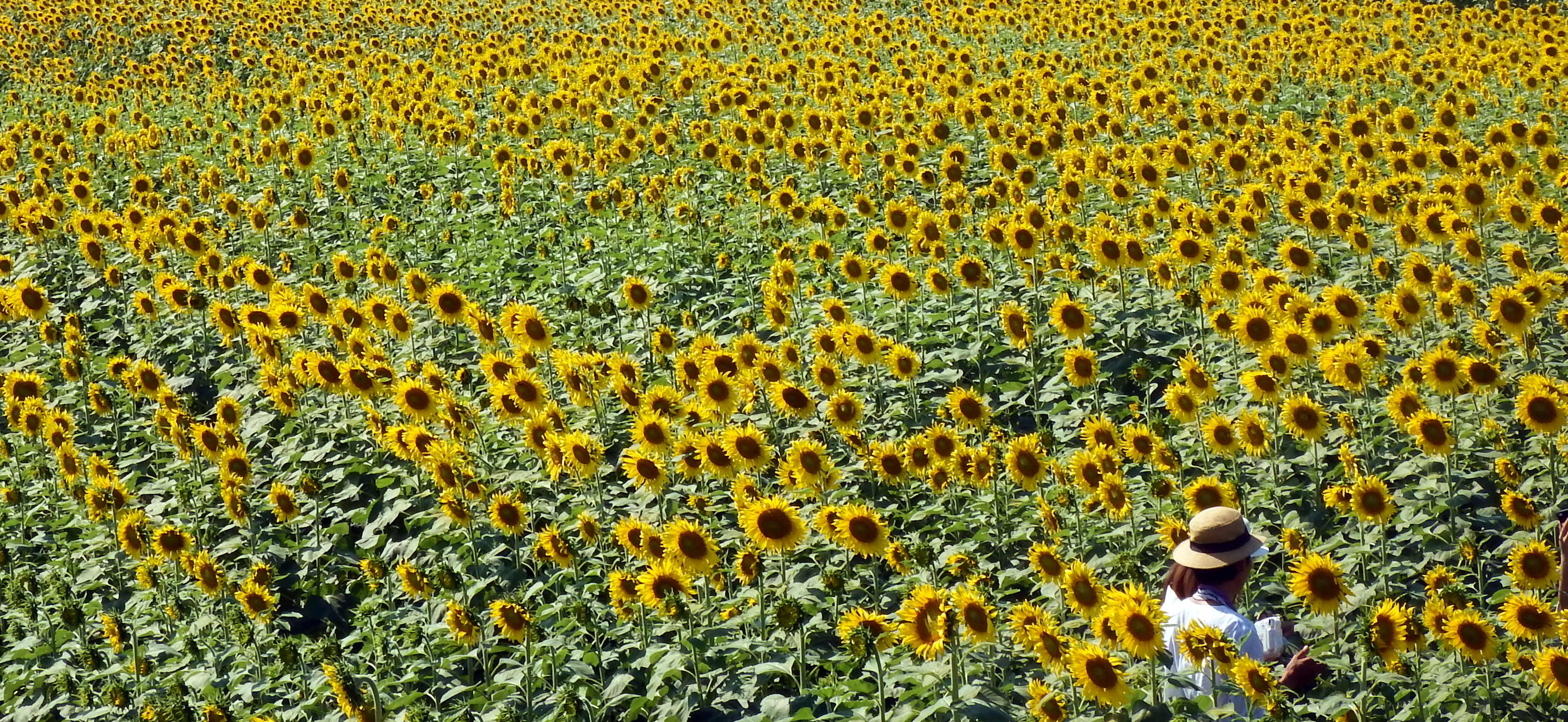 Person in a Sunflower Field, Green, Woman, Tourist, Sunflowers, HQ Photo