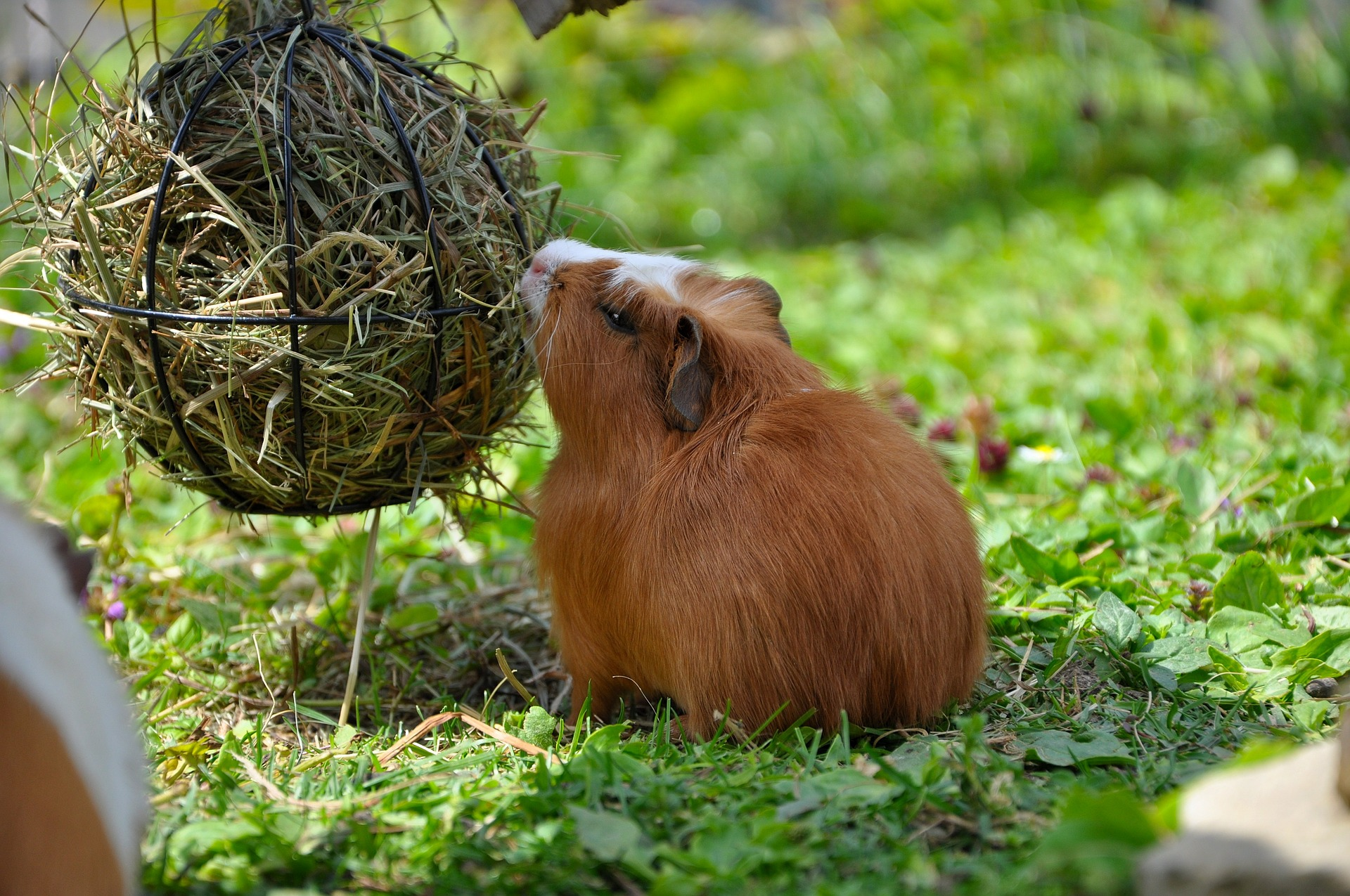 Pet, Guineapig, Loyal, Guinea, Friend, HQ Photo