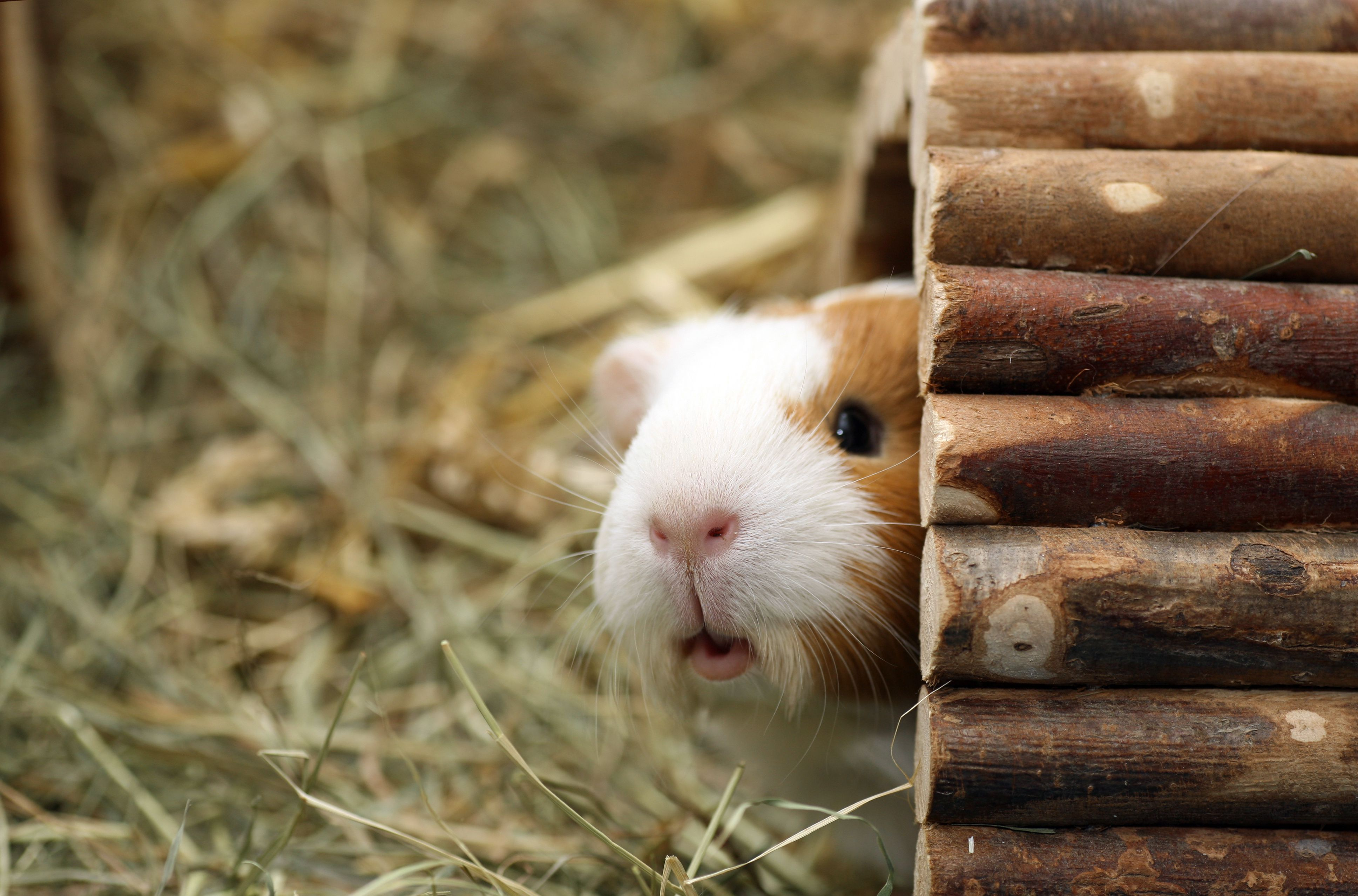 Things to Know Before Getting a Pet Guinea Pig