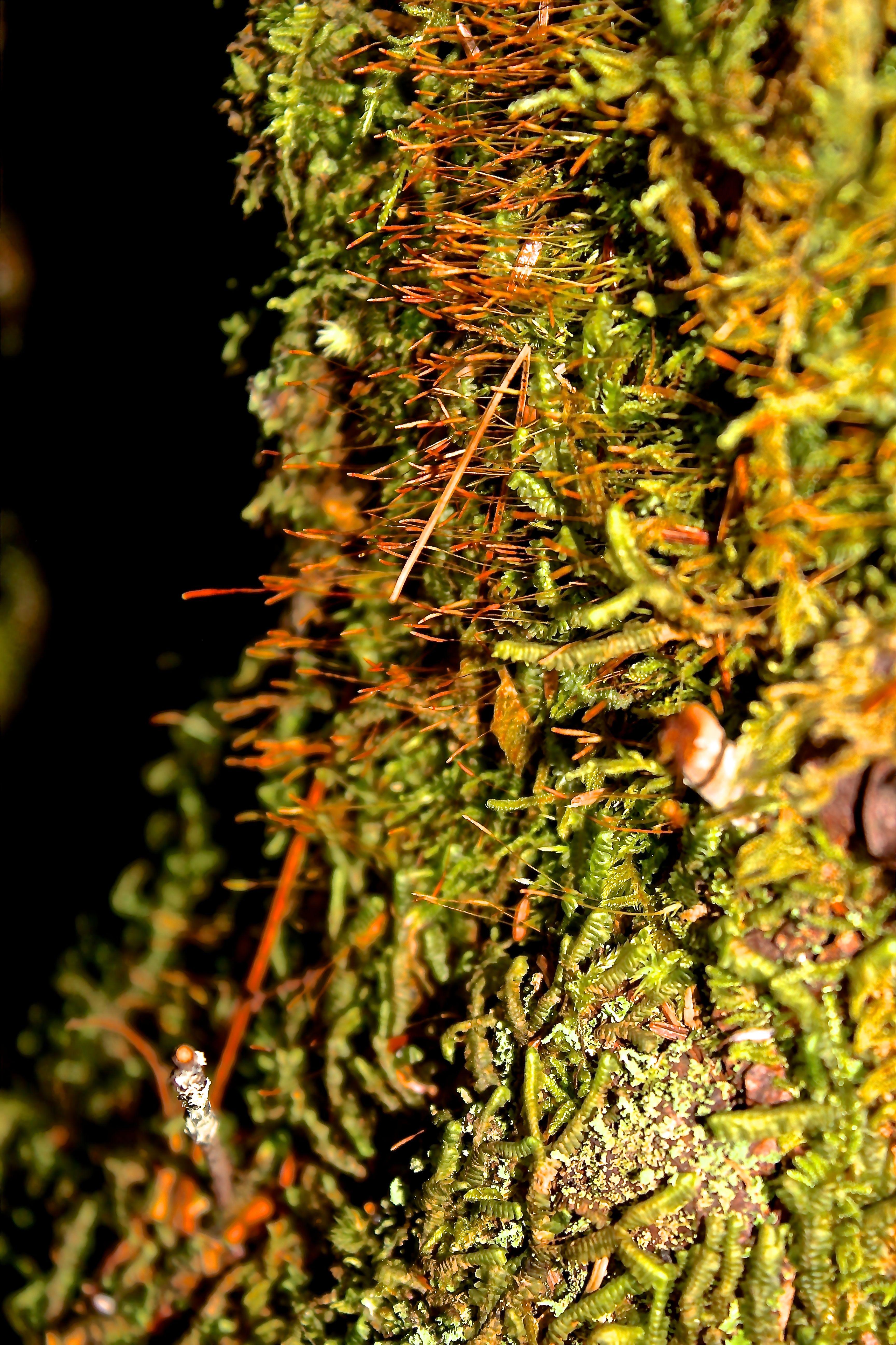 pincushion moss | wondermyway