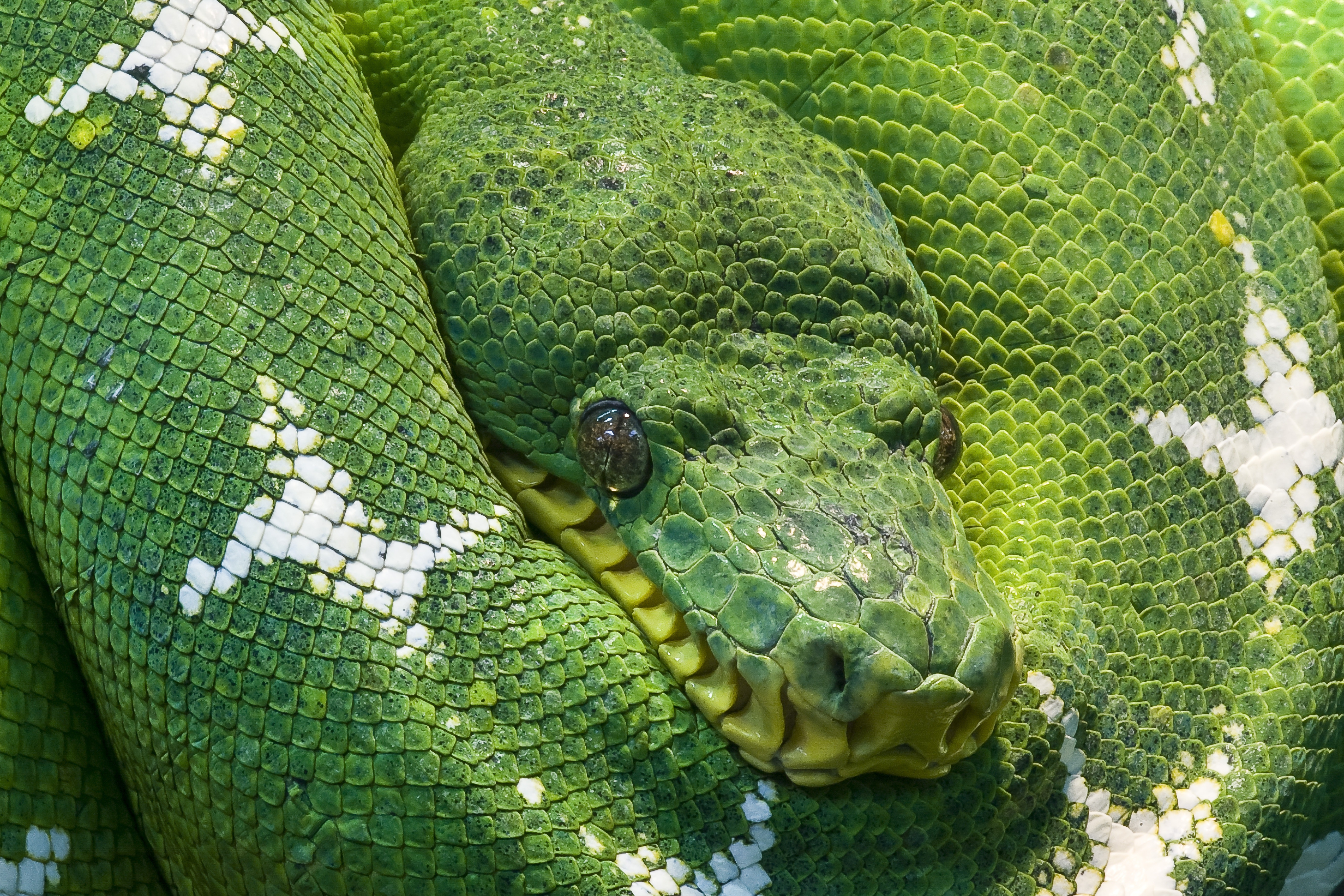 Free Photo Photo Of Green And White Snake Animal Creature Eyes Free Download Jooinn