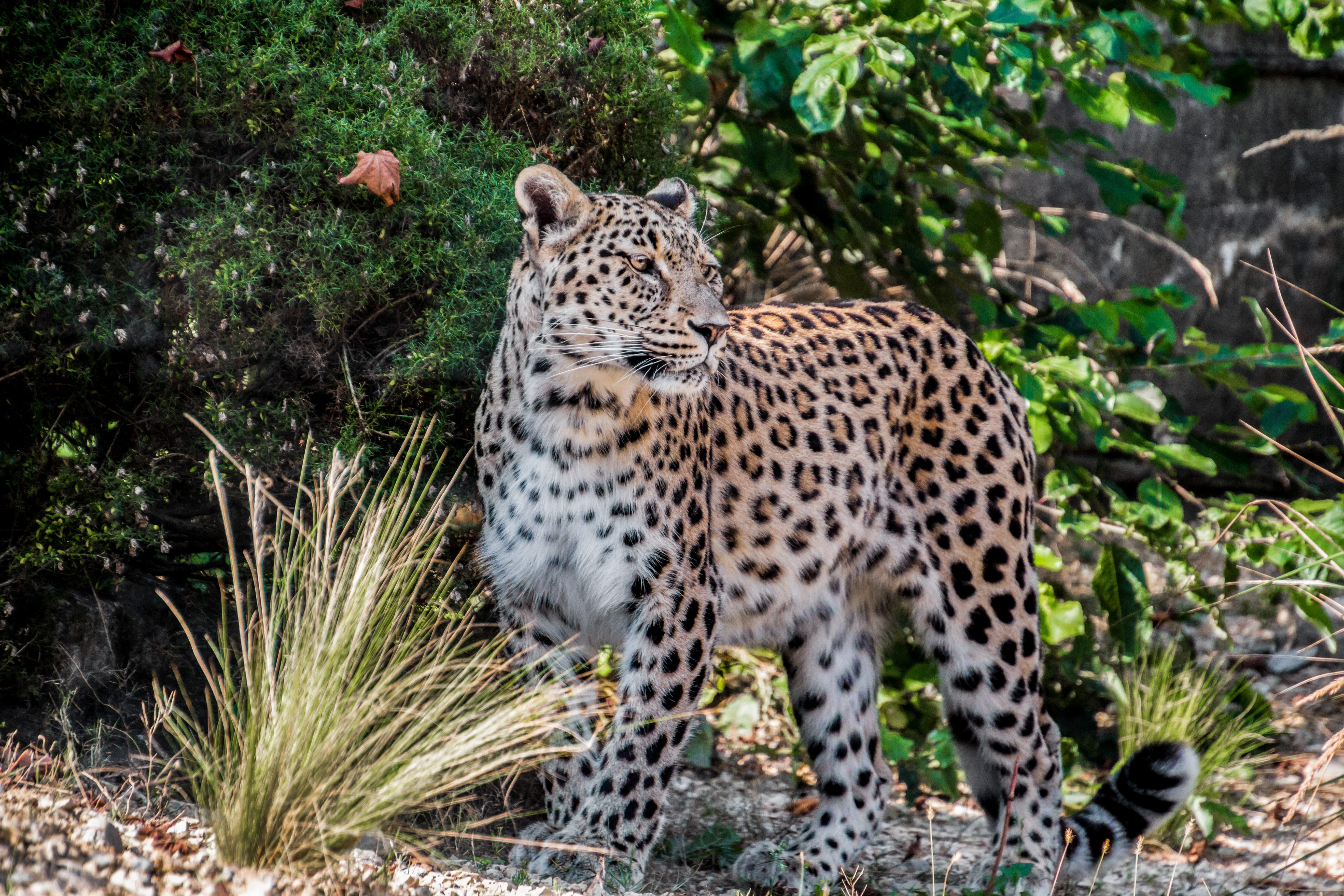 Photo Of Leopard, Persian leopard, Wood, Wildlife photography, Wildlife, HQ Photo