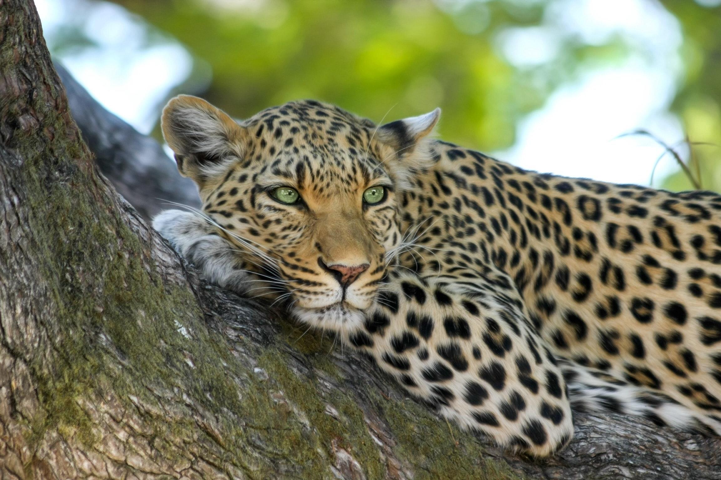 The most Impressive Leopard Photos · Pexels · Free Stock Photos