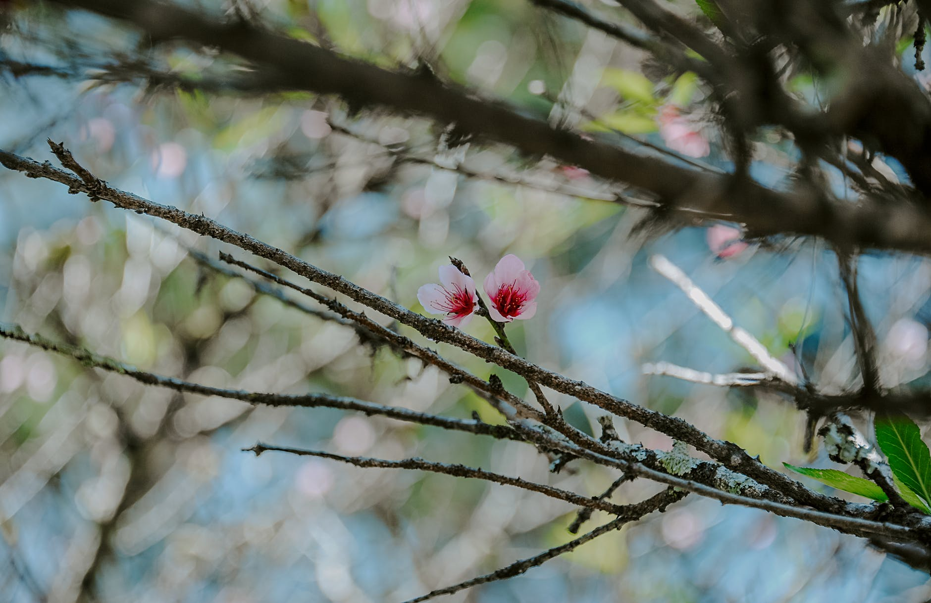 Photo of pink magnolia flowers