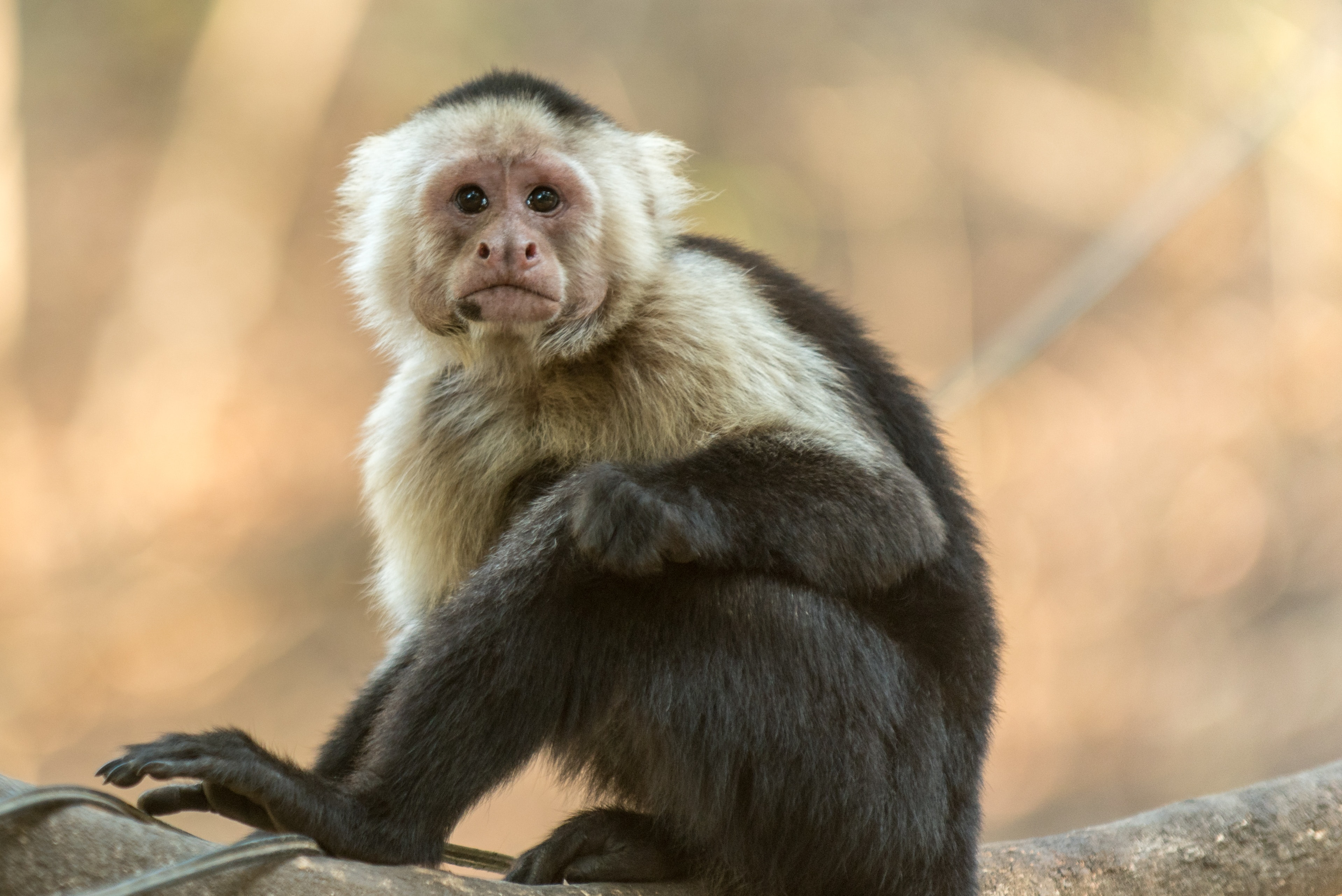 Photography of gray and black monkey
