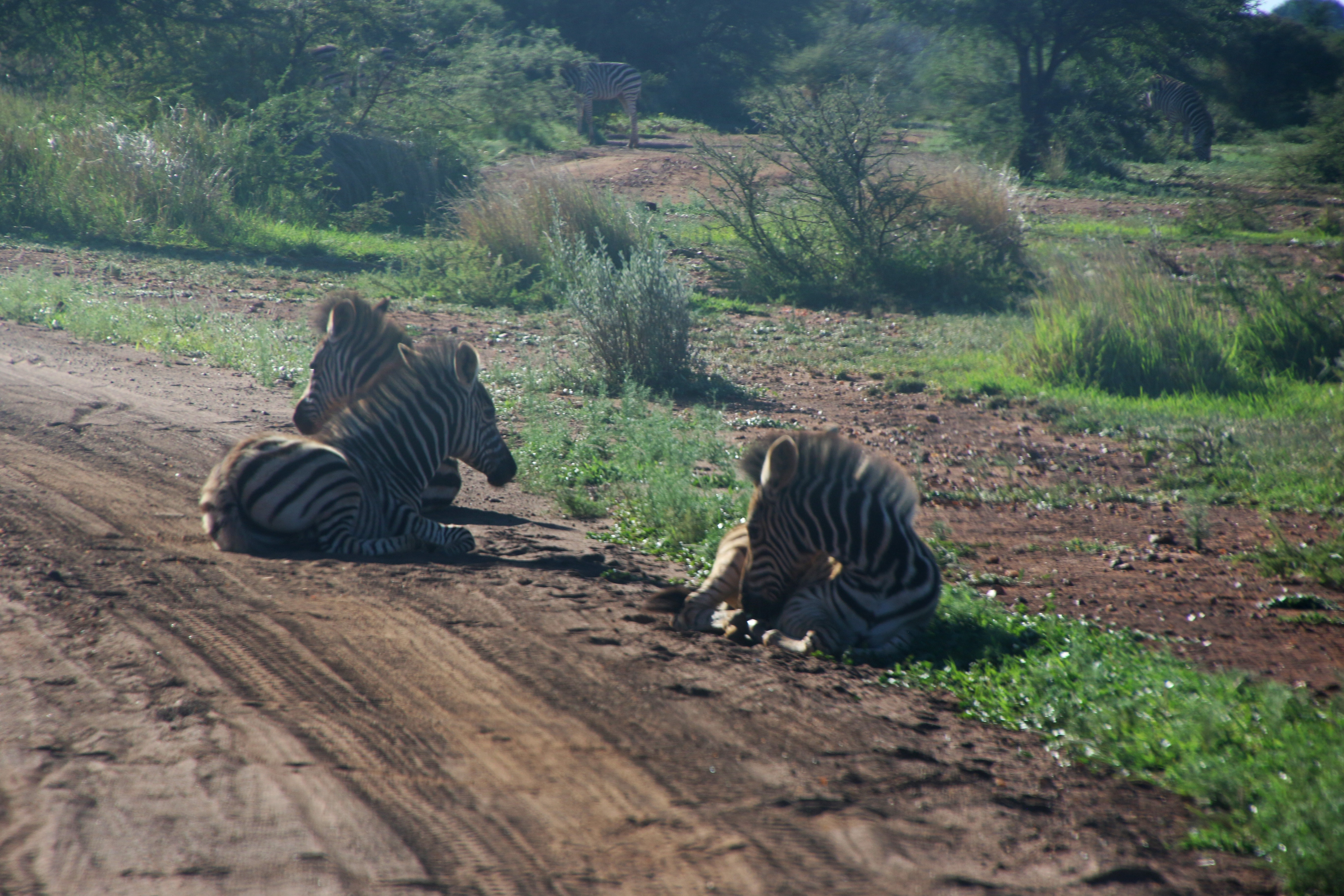 Photography of three zebras lying down