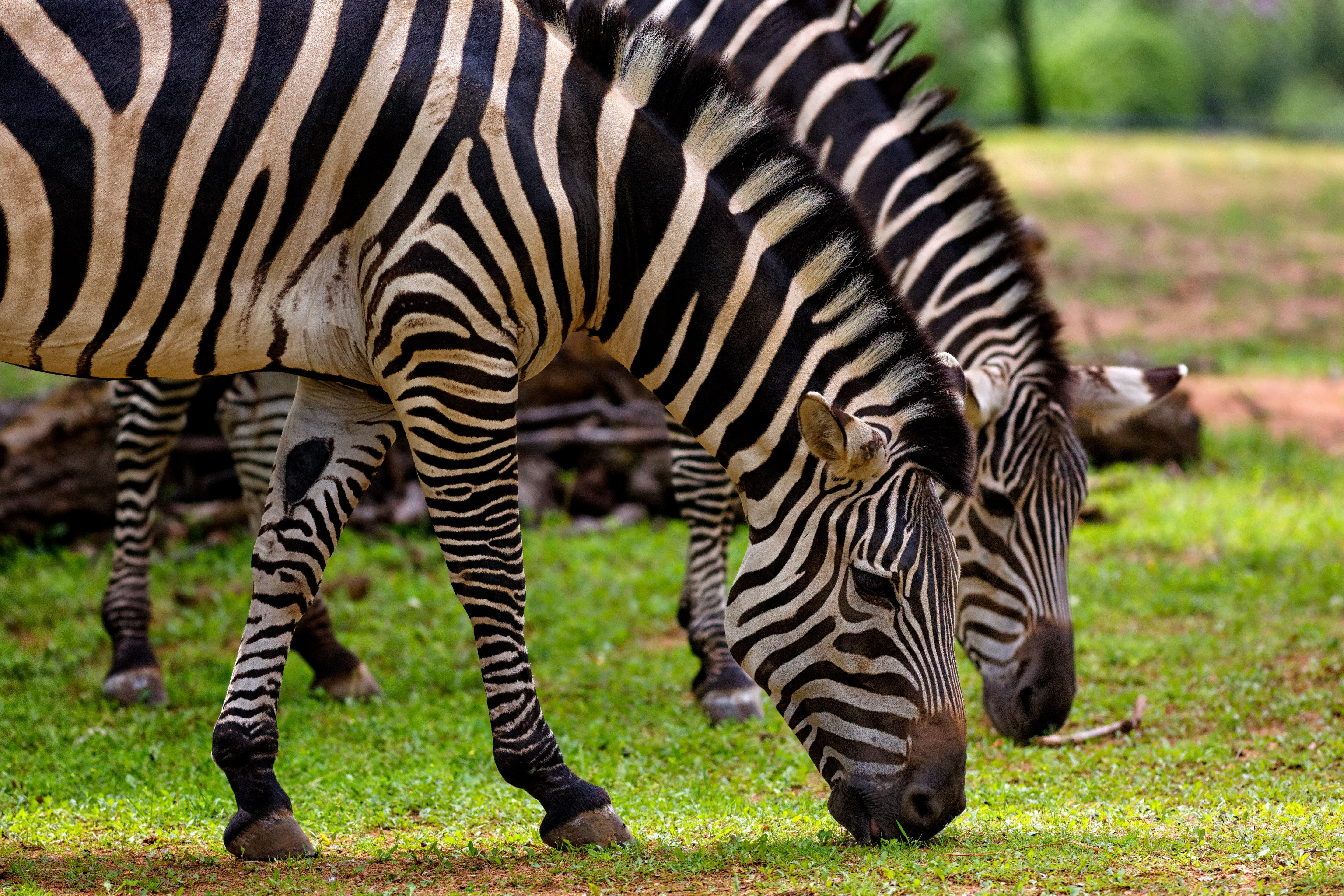 Free photo: Photography of Two Zebra Eating Grass - Animal ...