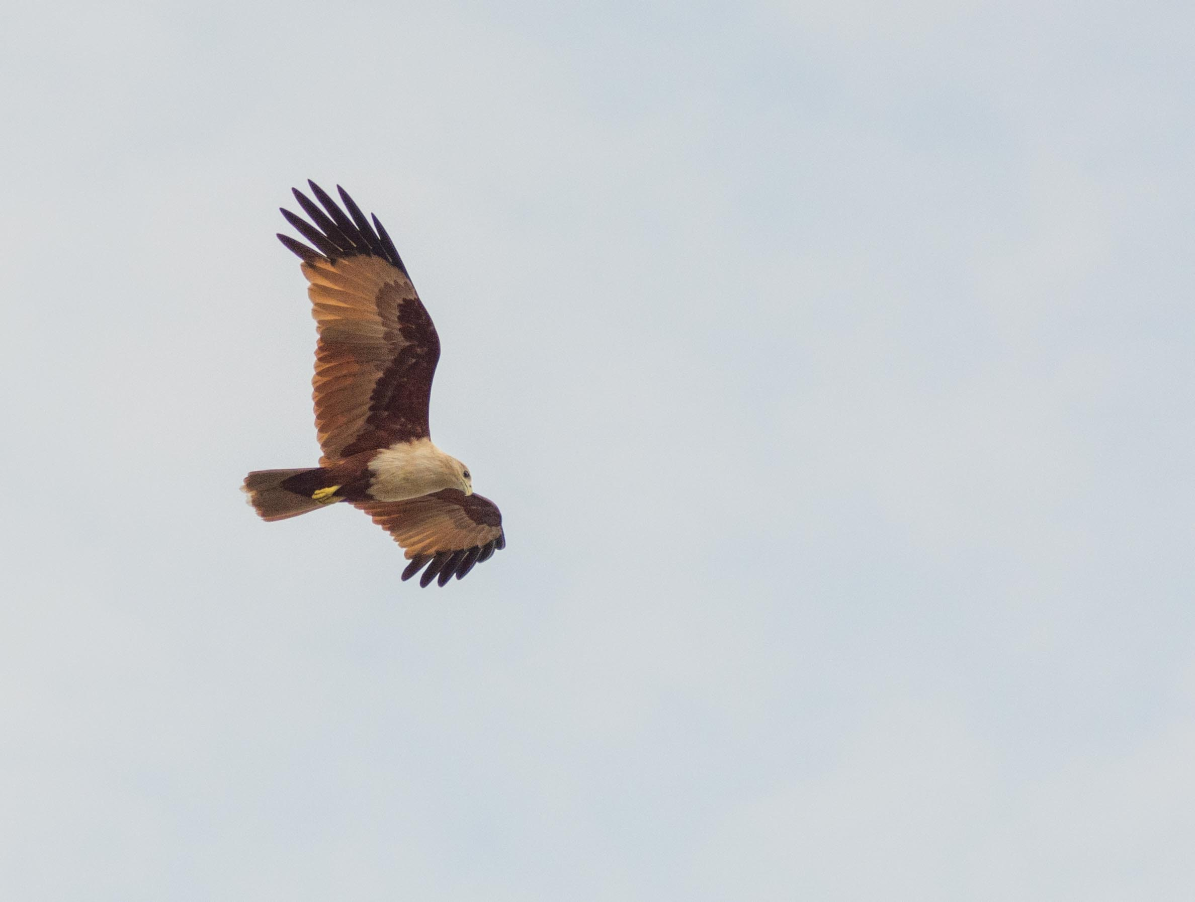 Photography of White and Brown Bird Flying, Animal, Hawk, Wildlife, Wild animal, HQ Photo
