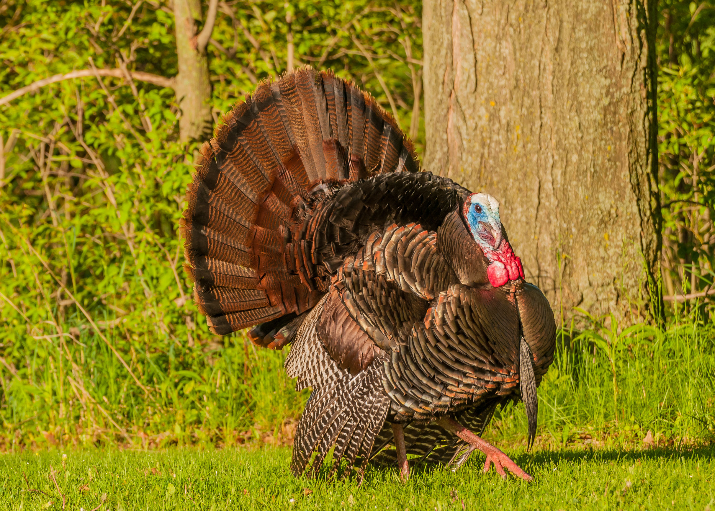 Turkey Reference Pictures – King Turkey Taxidermy Products