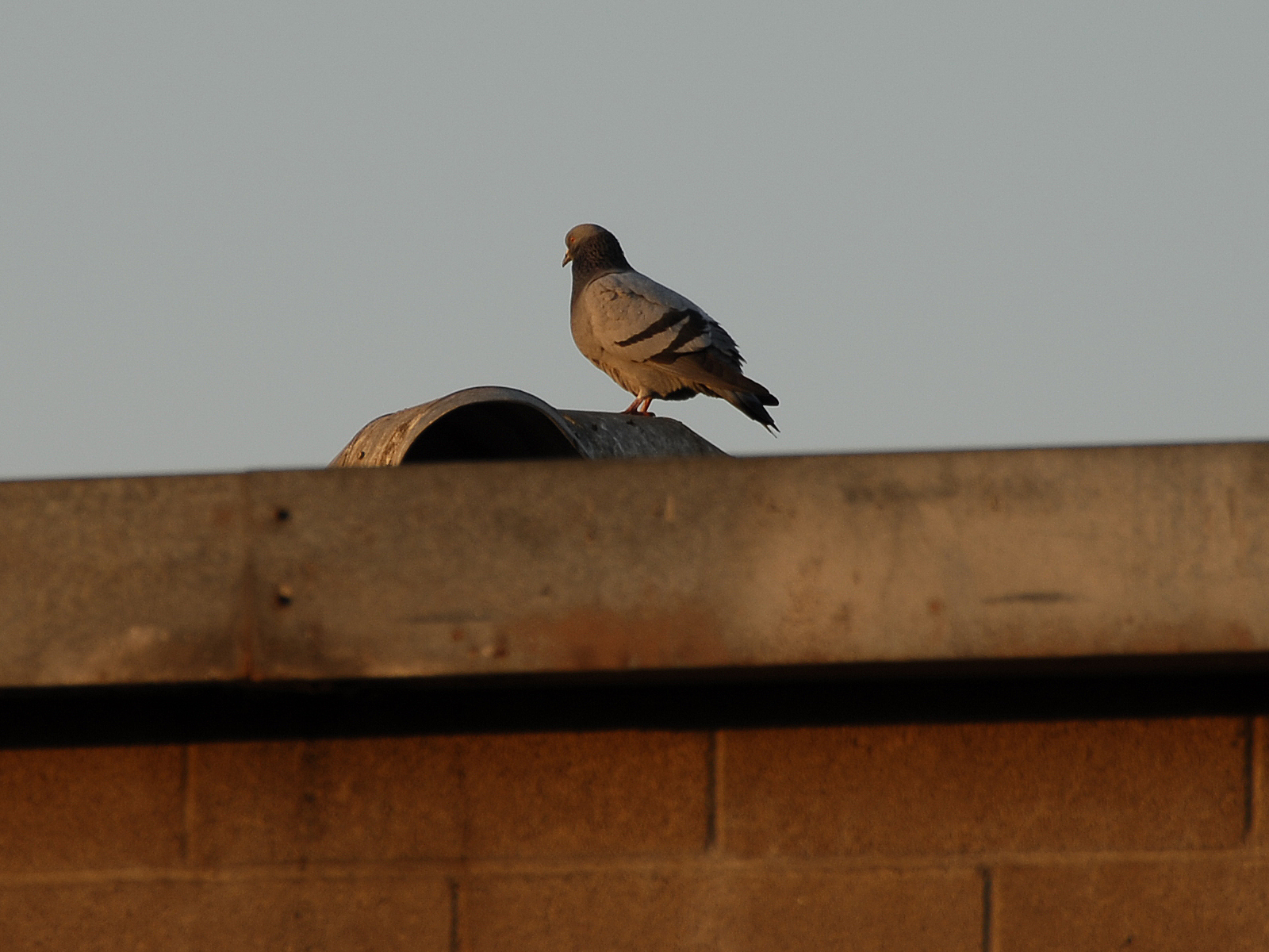 Pidgeon on a building photo