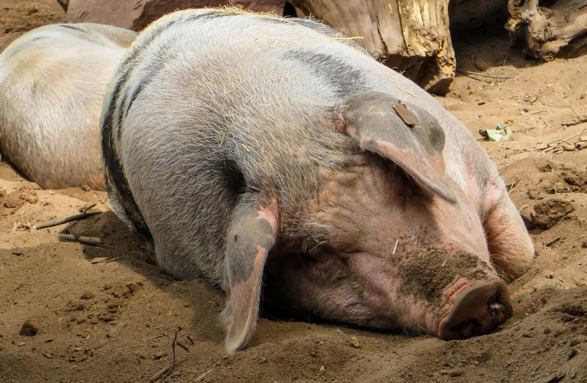 Pig farm photo