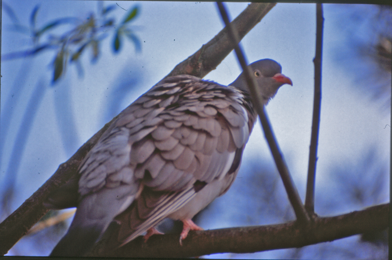 Pigeon, Bird, Branches, Feathers, Tail, HQ Photo
