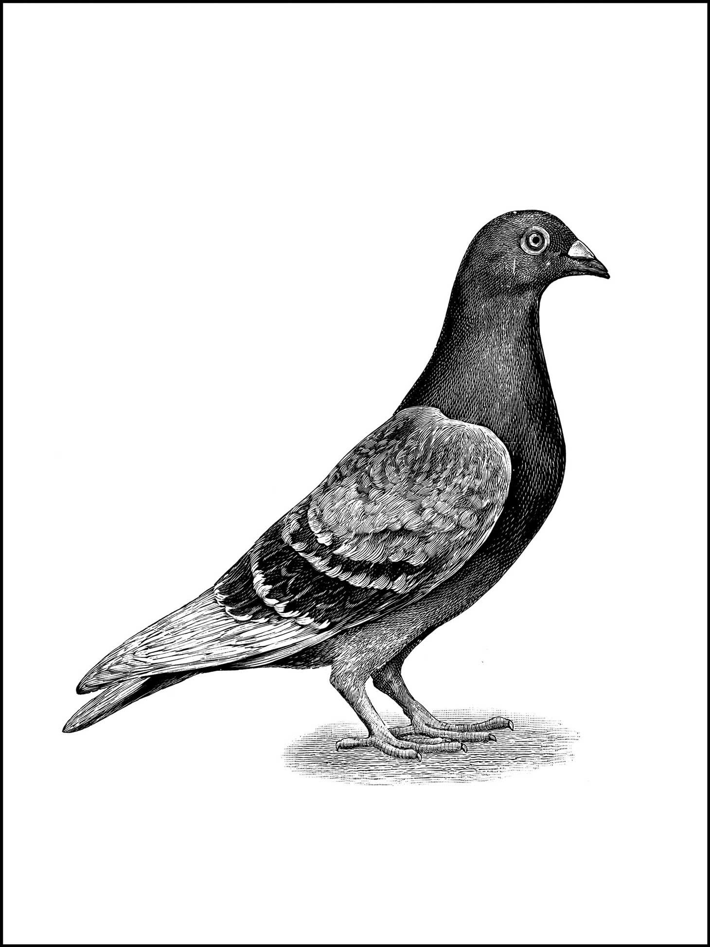 coloring pages - a pigeon, or bird to color | Birds and Birds and ...