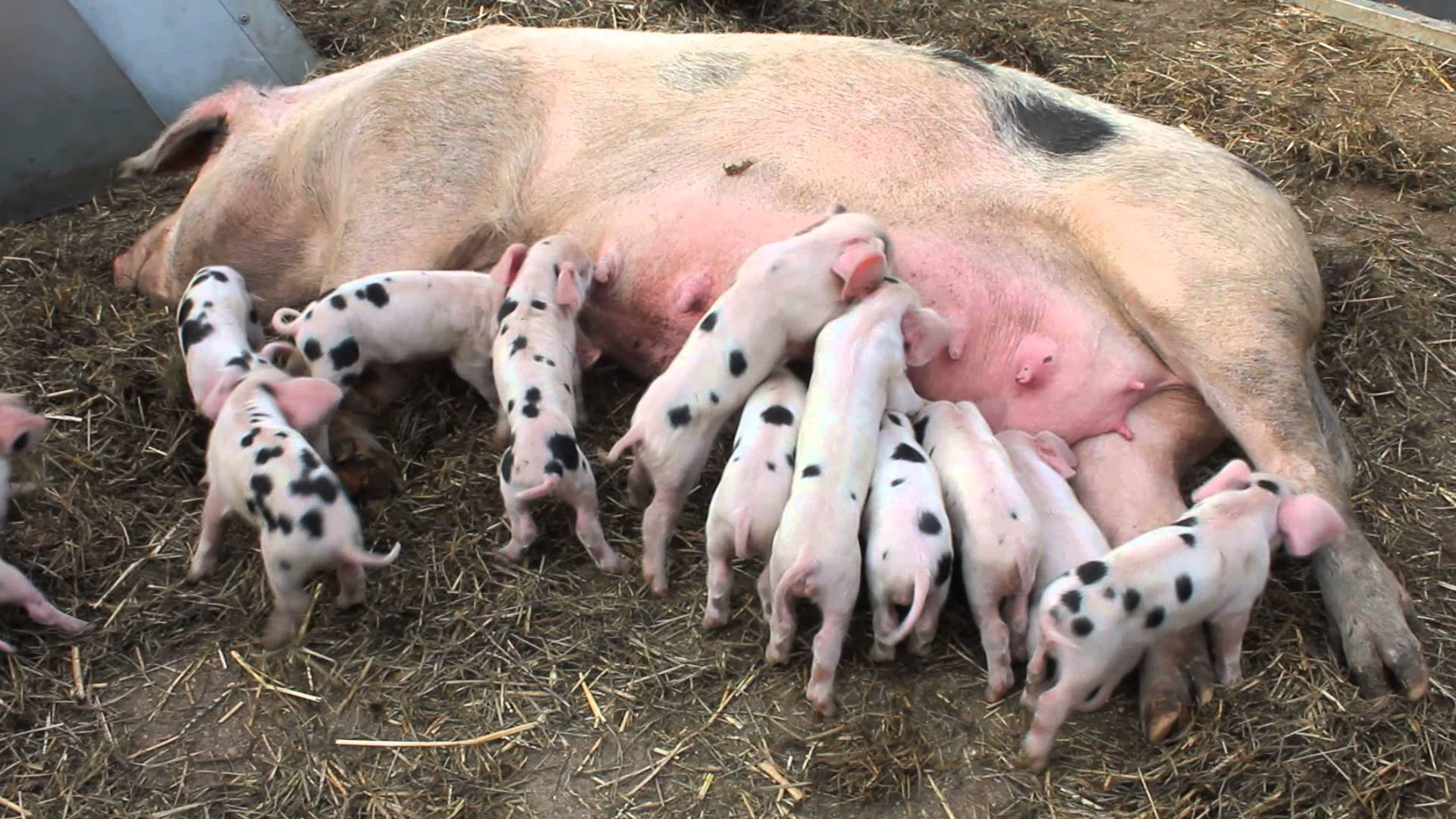 Piglets Feeding Time - YouTube
