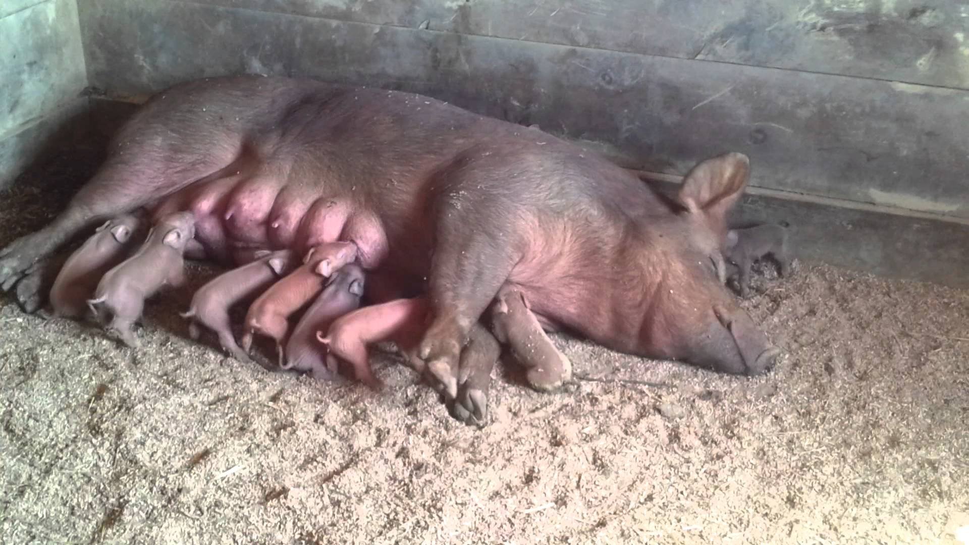 Day old piglets nursing - YouTube