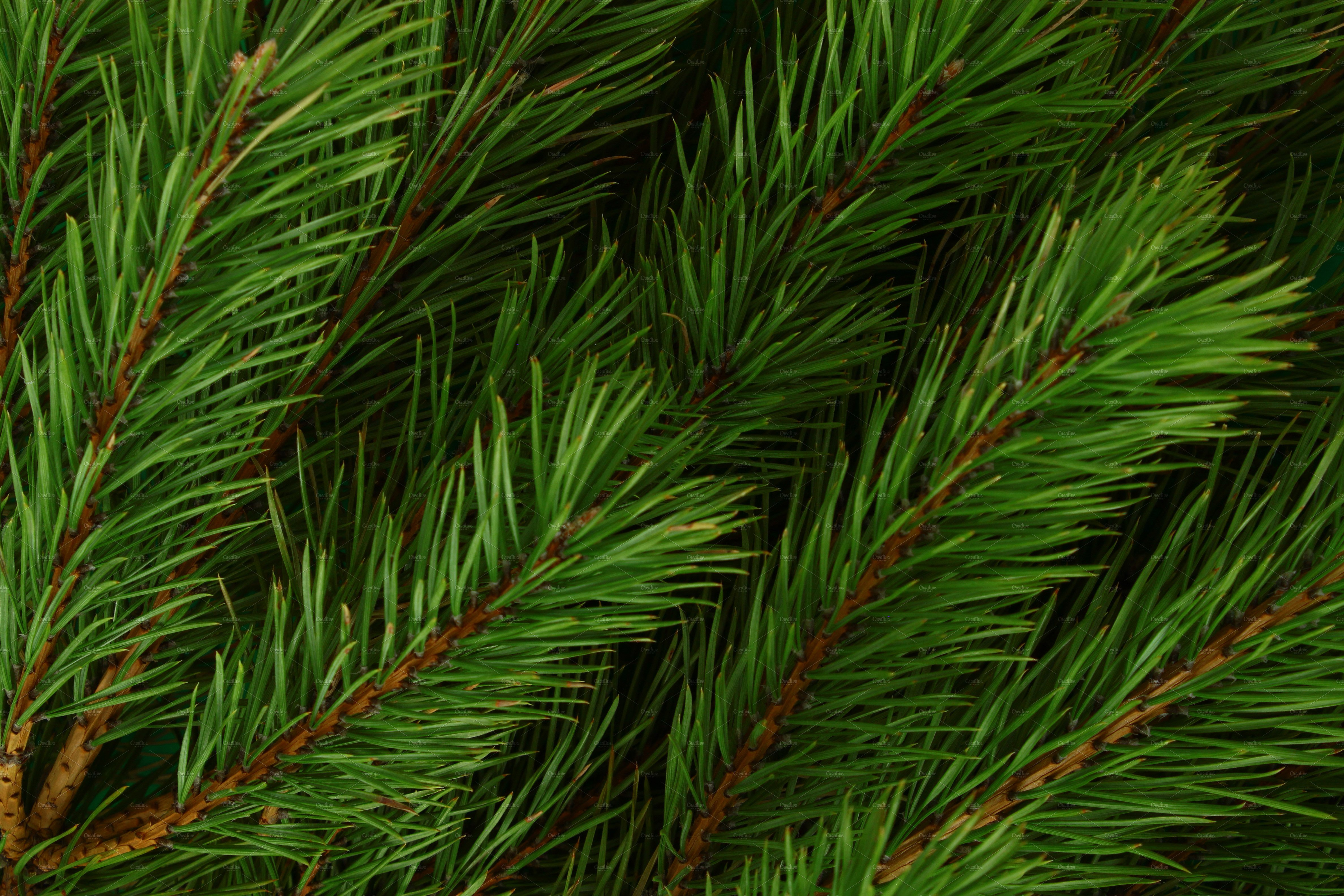 Pine branches photo