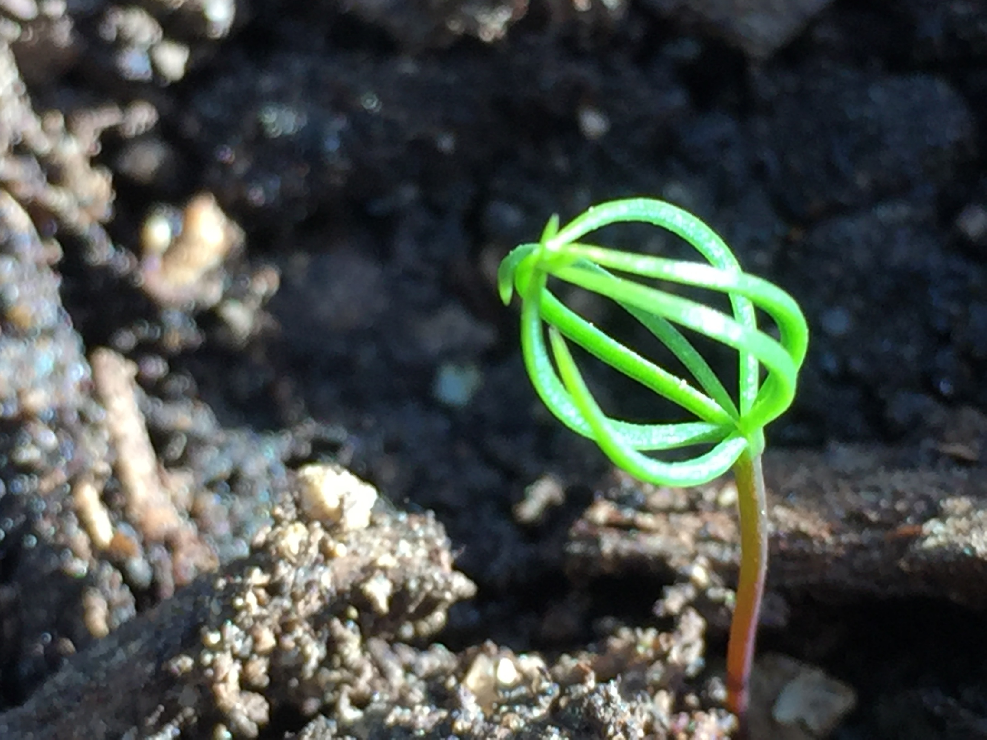 Pine tree sprouts photo