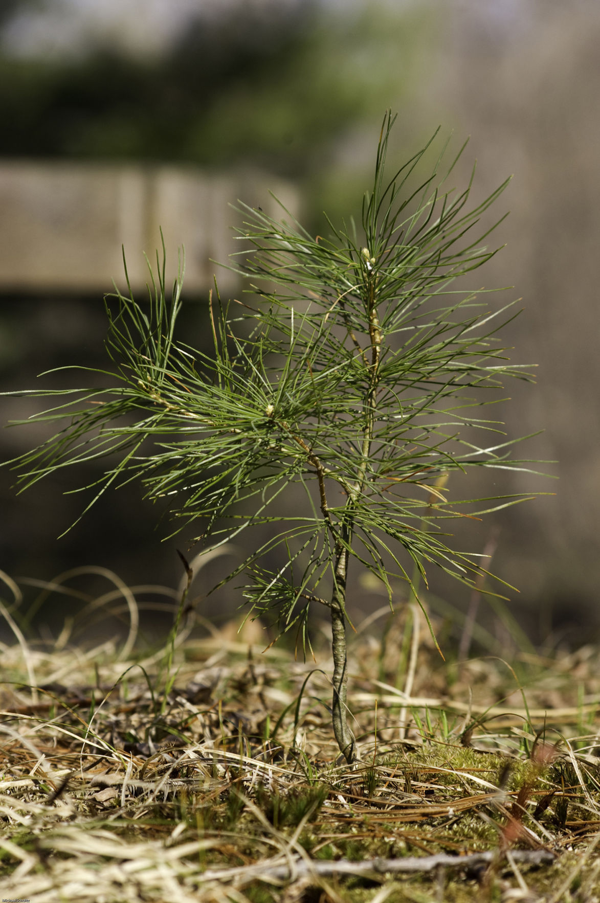 Gardening Q&A: Pine seedlings are pesky to remove | Lawn & Garden ...