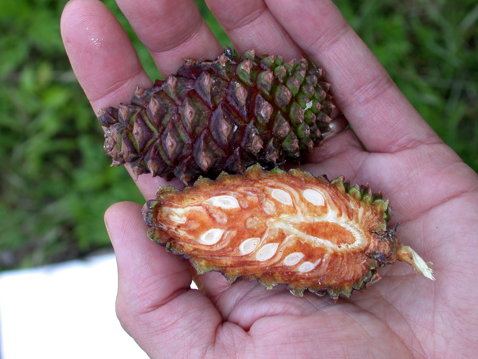 This is the inside of a pine-cone. Wonderful picture for seeds and ...