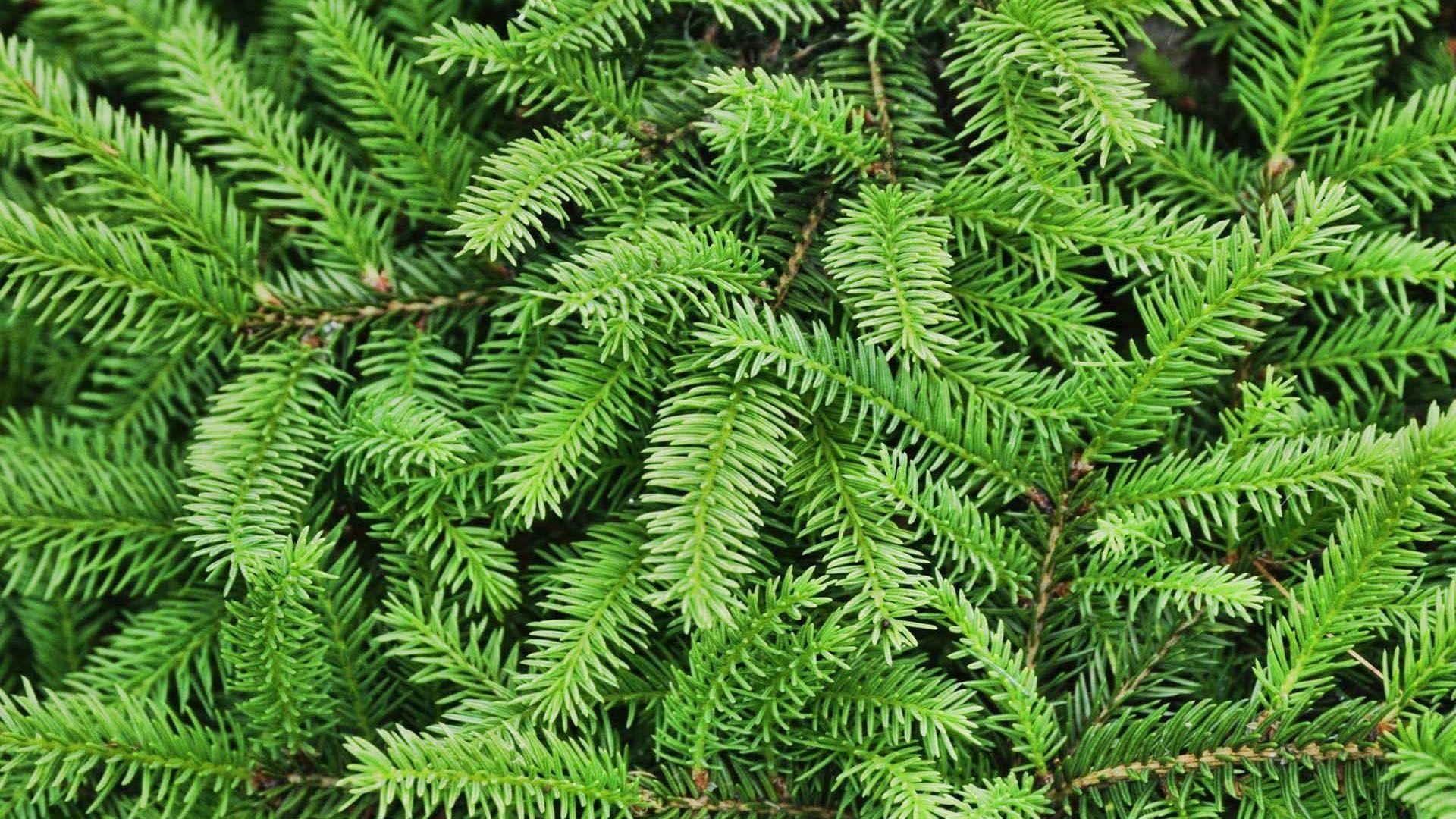 Fir tree texture background