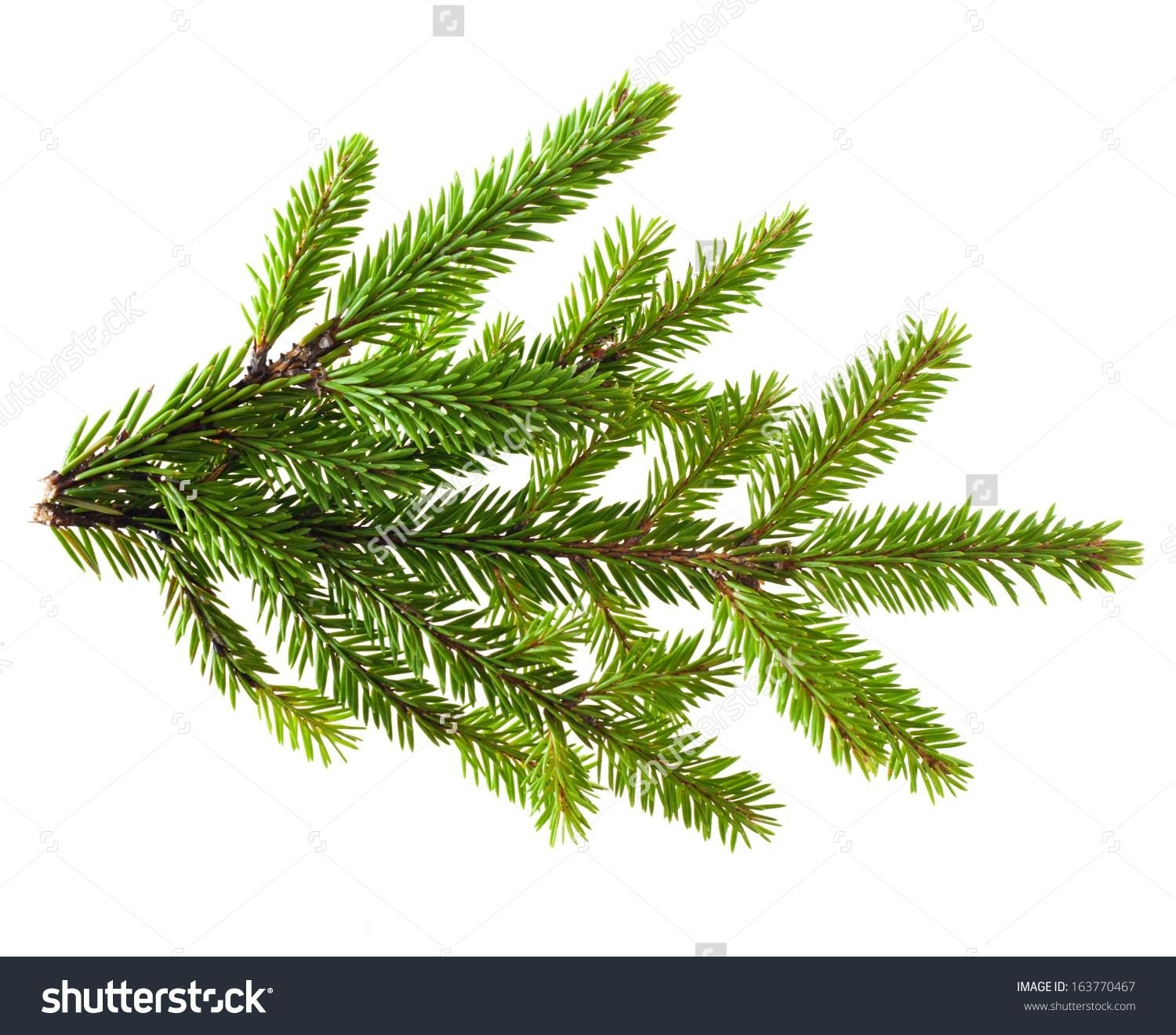 Pine Tree Branch Texture | Simple Living Tree in the World Places