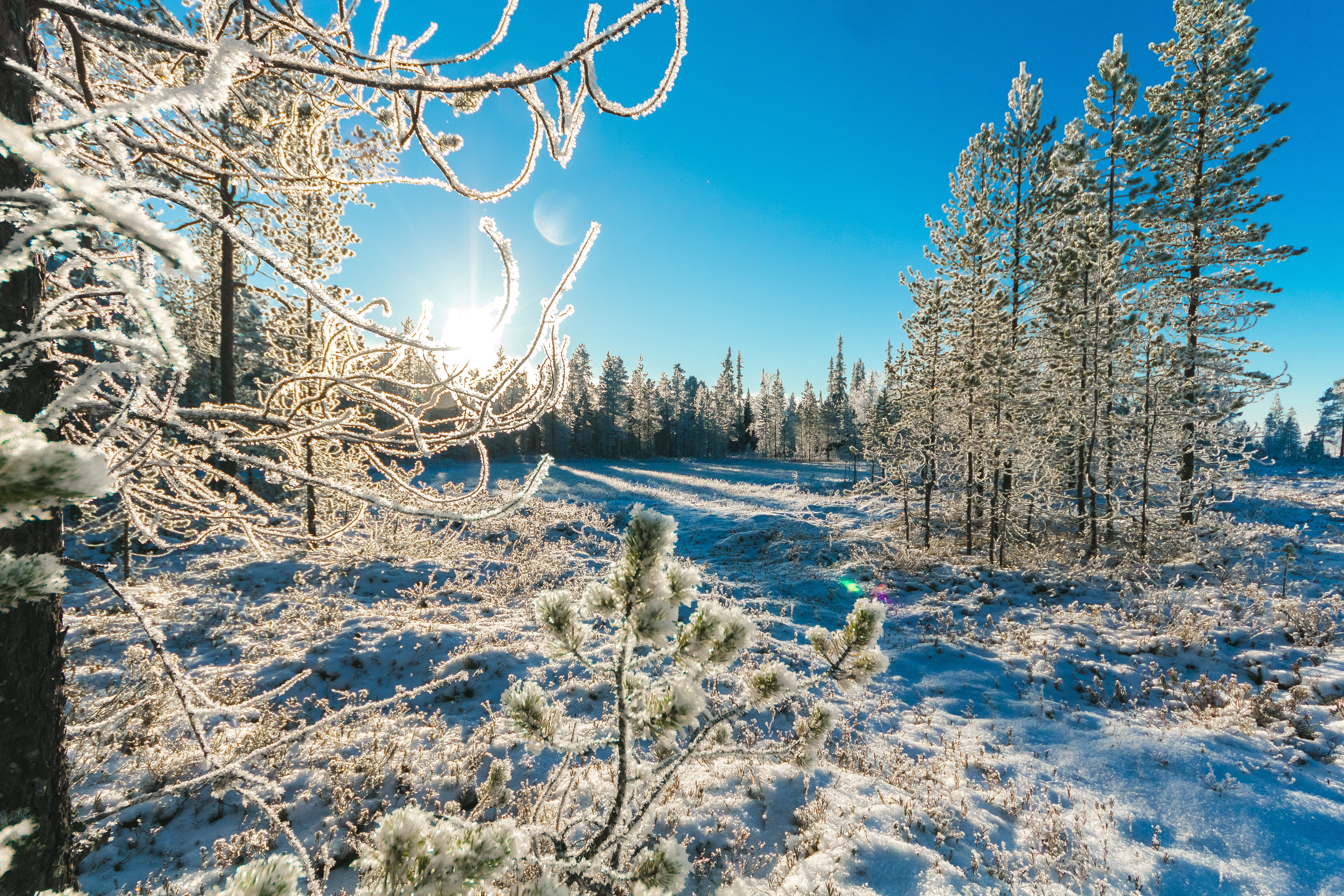 Pine Trees in Winter, Branches, Pines, Winter landscape, Winter, HQ Photo