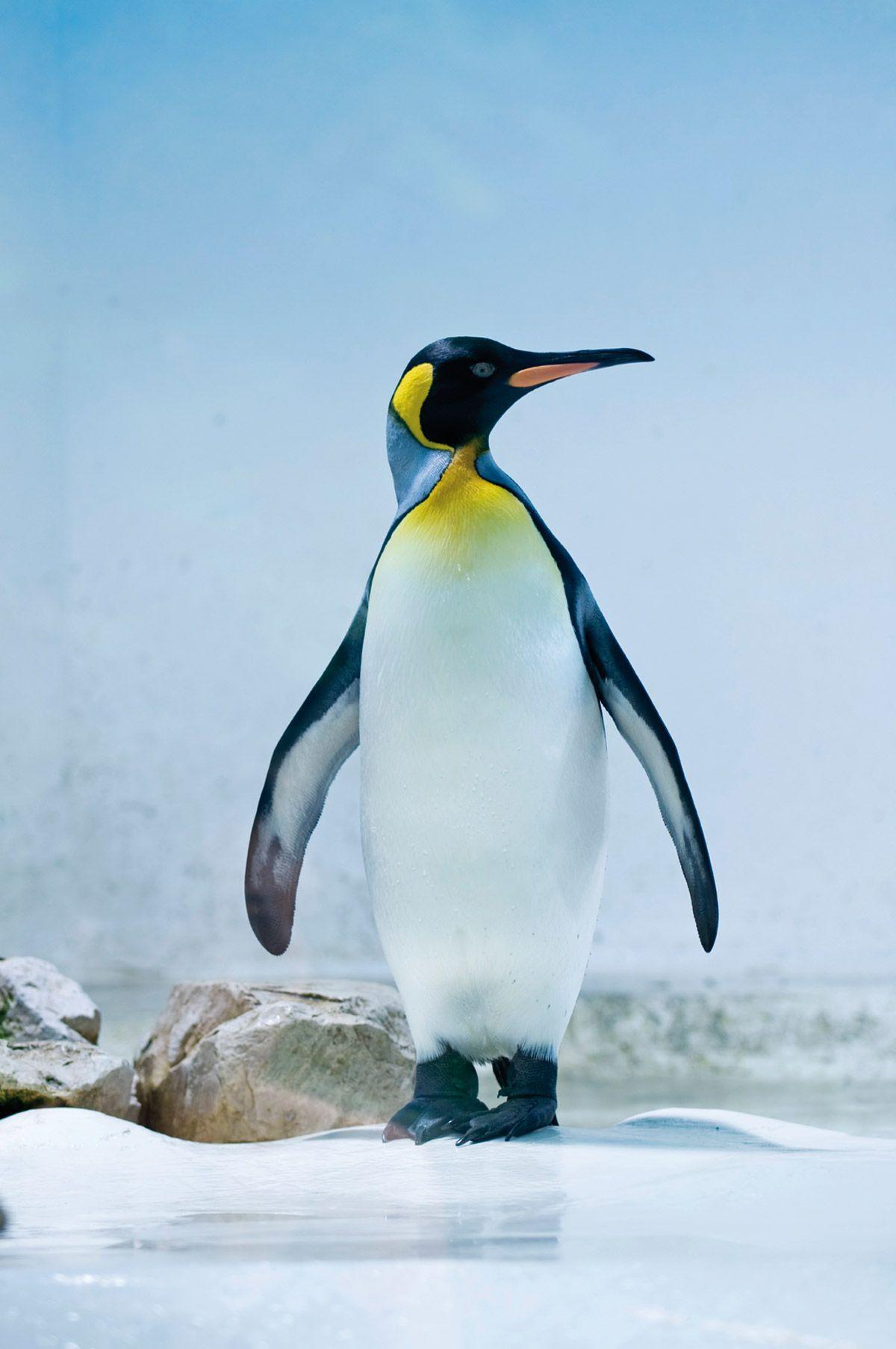pinguin - Google zoeken | bird | Pinterest | Penguins, Animal and Bird